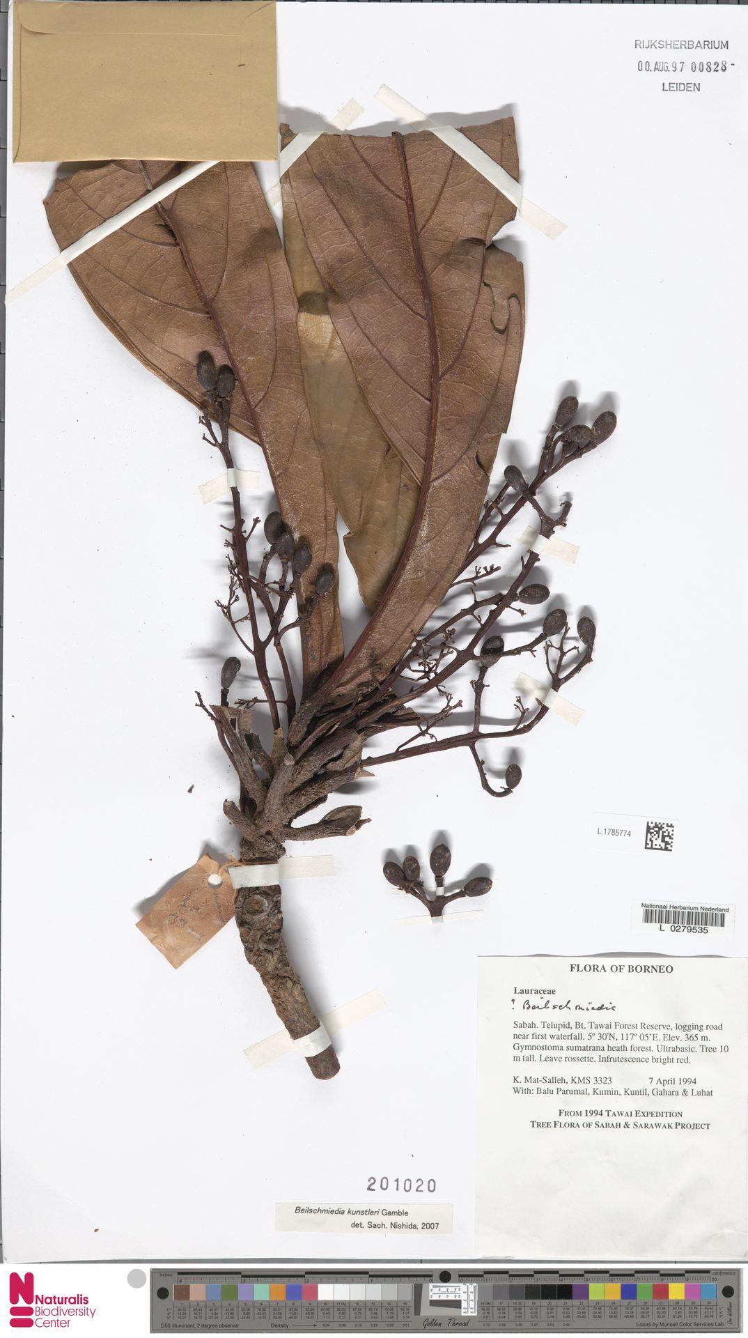 L.1785774 | Beilschmiedia kunstleri Gamble