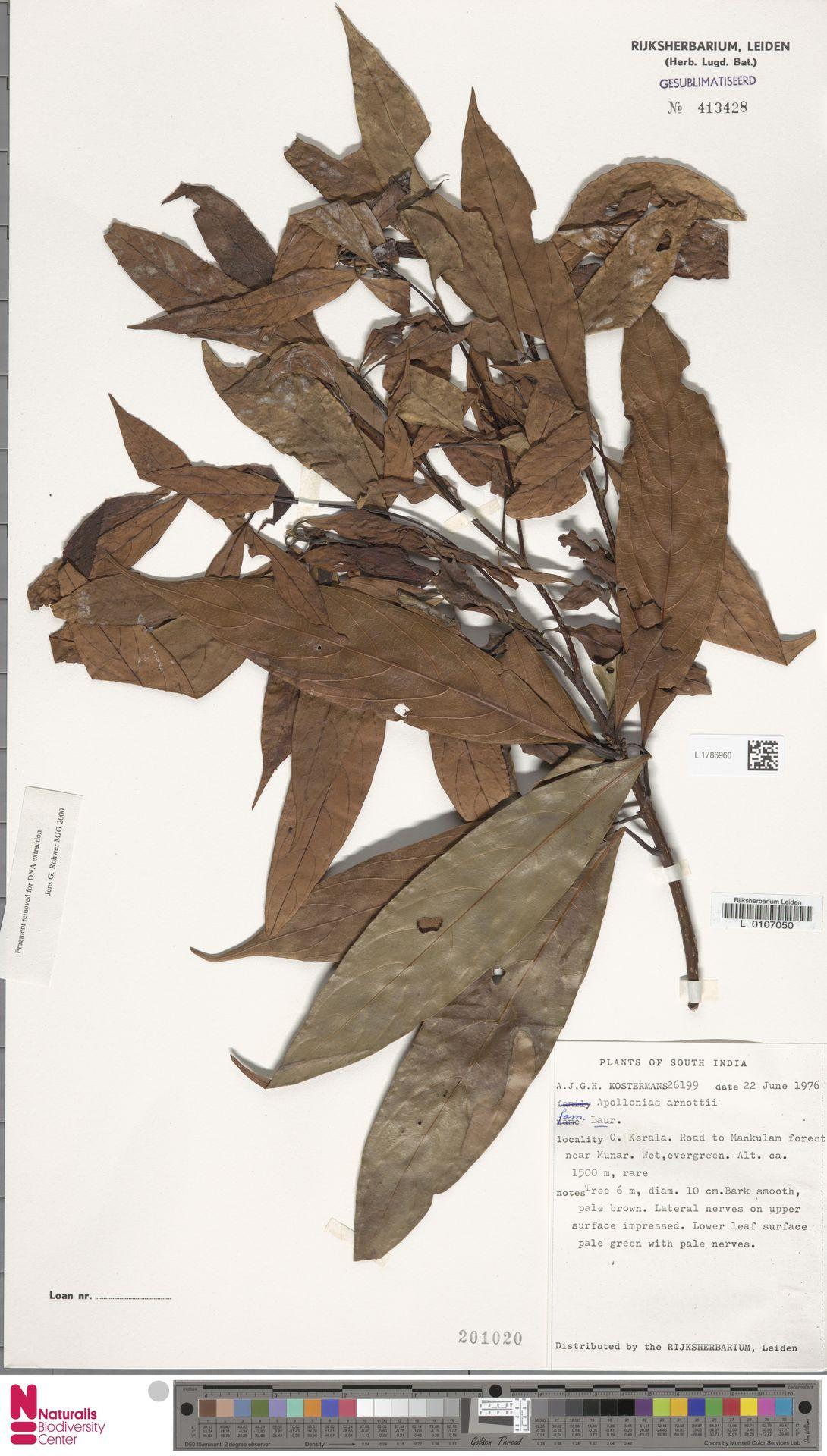 L.1786960   Apollonias arnottii Nees