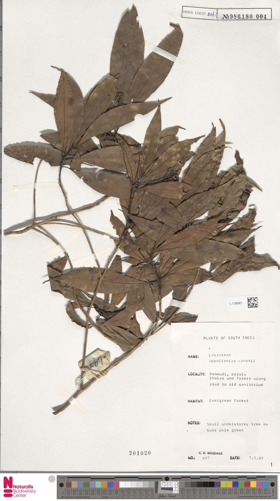 L.1786961   Apollonias arnottii Nees