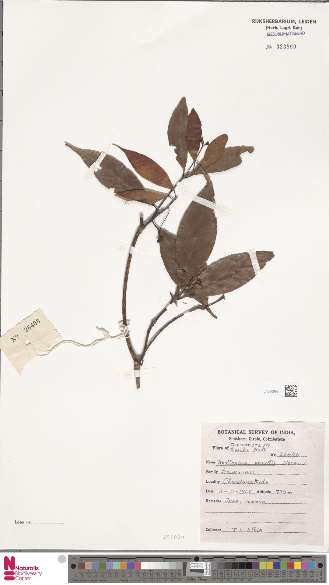 L.1786962 | Apollonias arnottii Nees