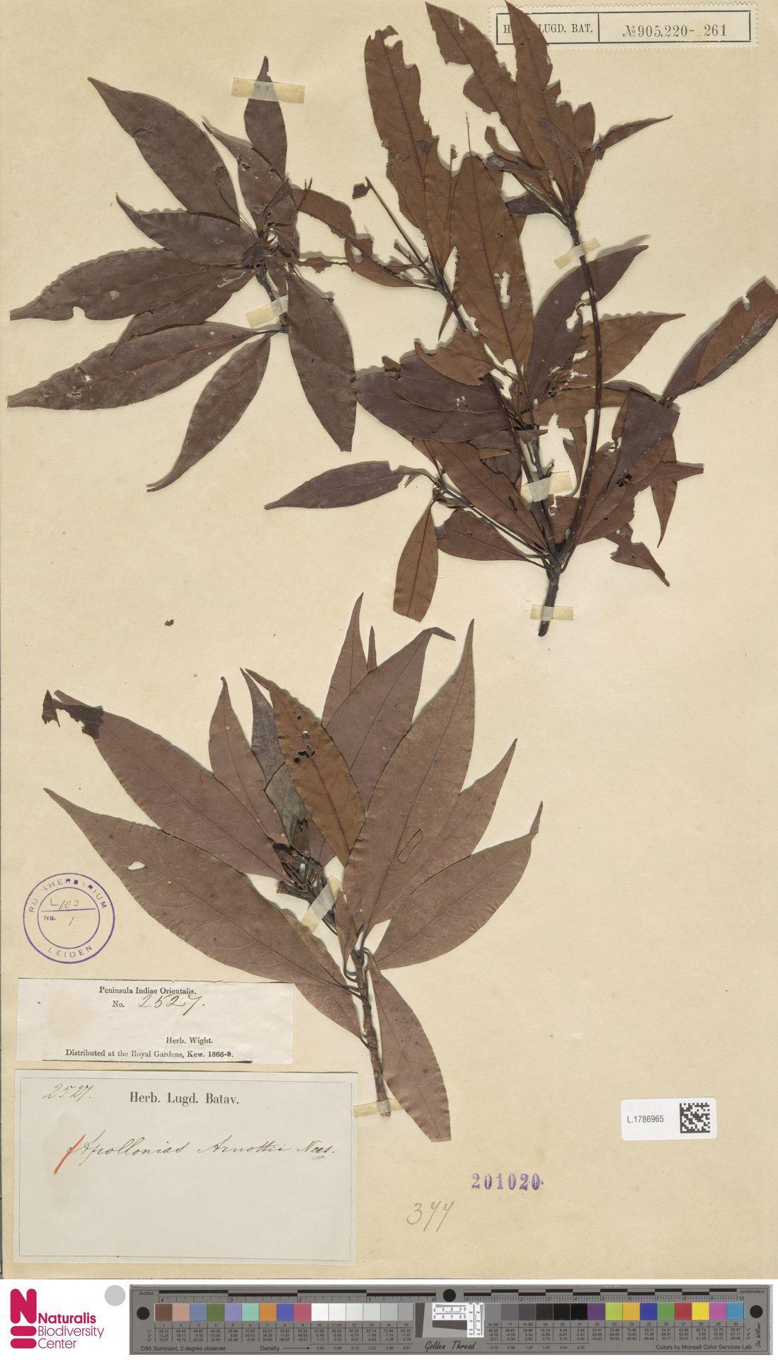 L.1786965 | Apollonias arnottii Nees