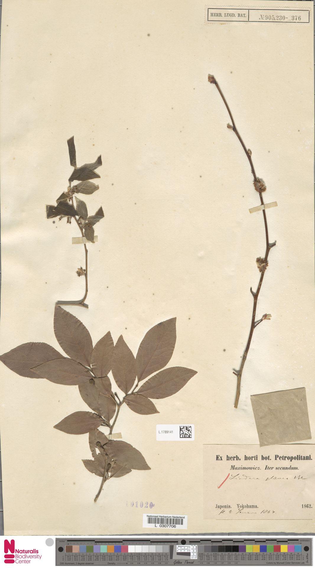 L.1789141   Lindera glauca Blume