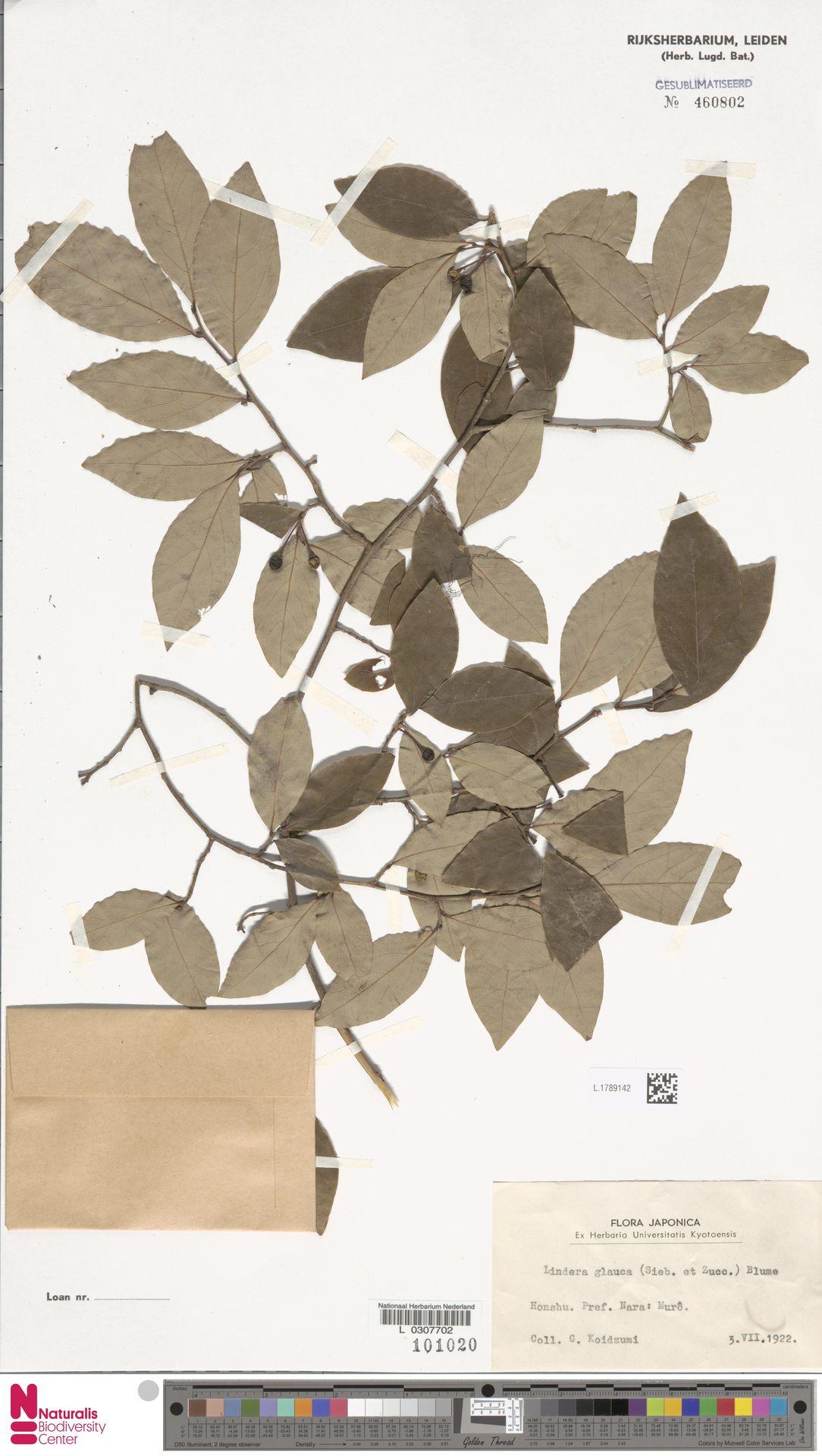 L.1789142 | Lindera glauca Blume
