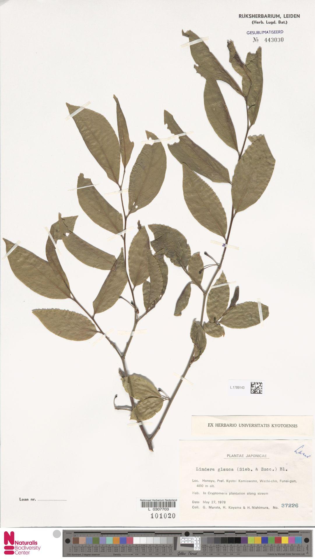 L.1789143 | Lindera glauca Blume