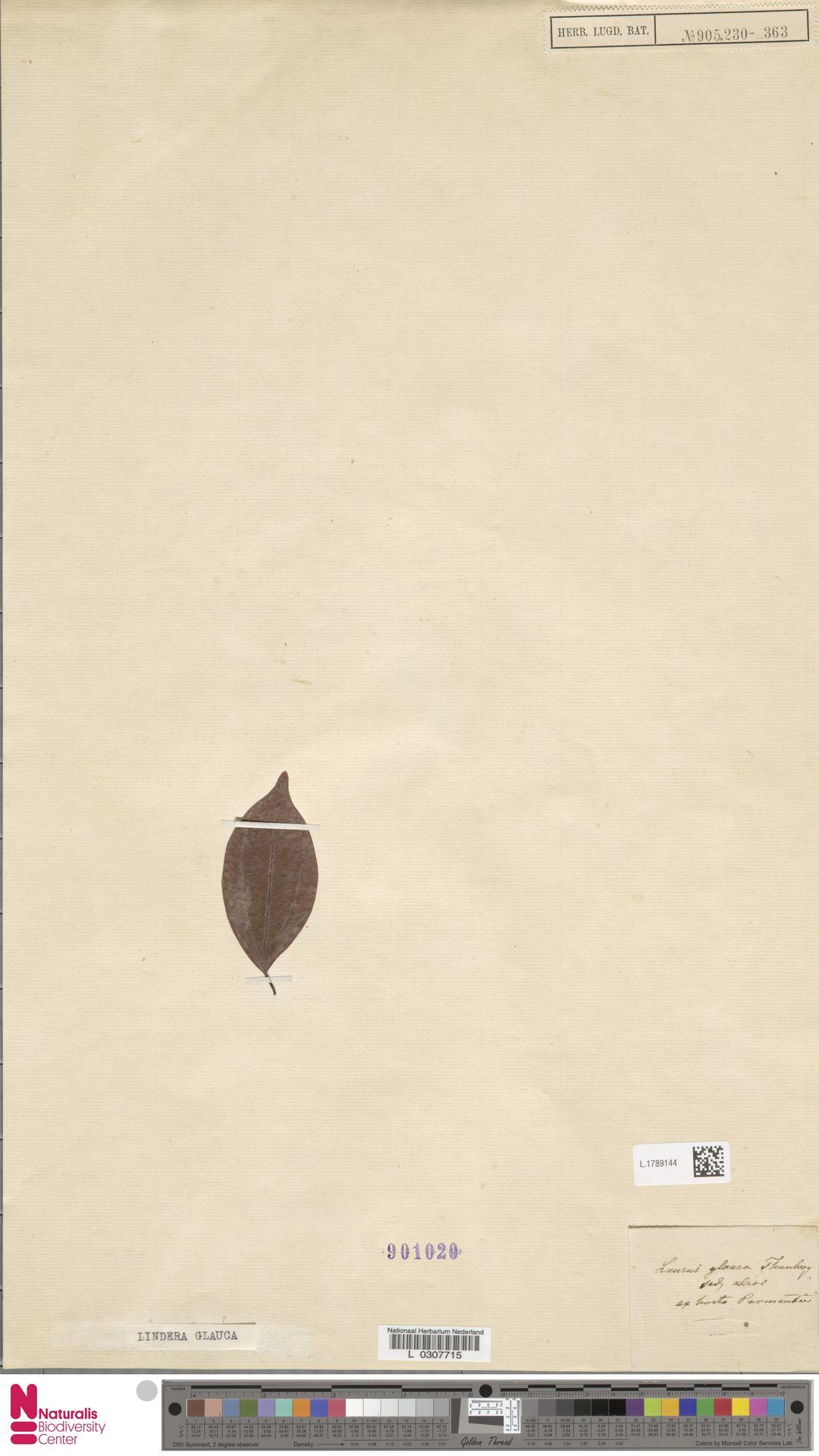 L.1789144 | Lindera glauca Blume