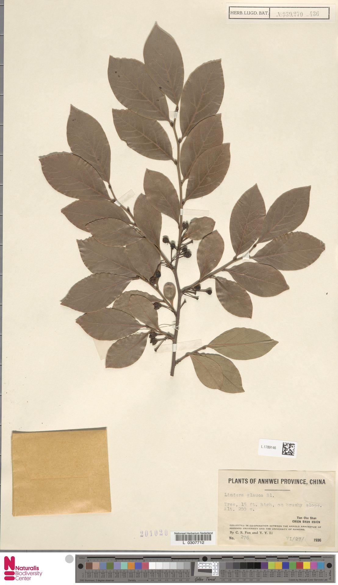 L.1789146 | Lindera glauca Blume