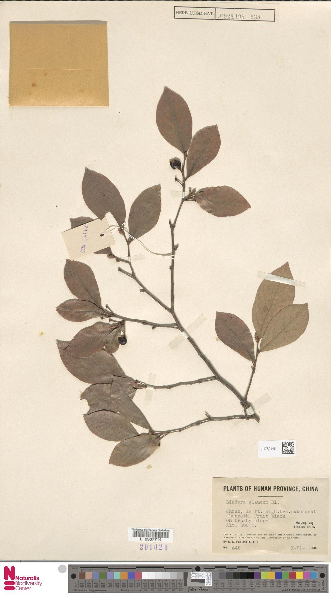 L.1789148 | Lindera glauca Blume