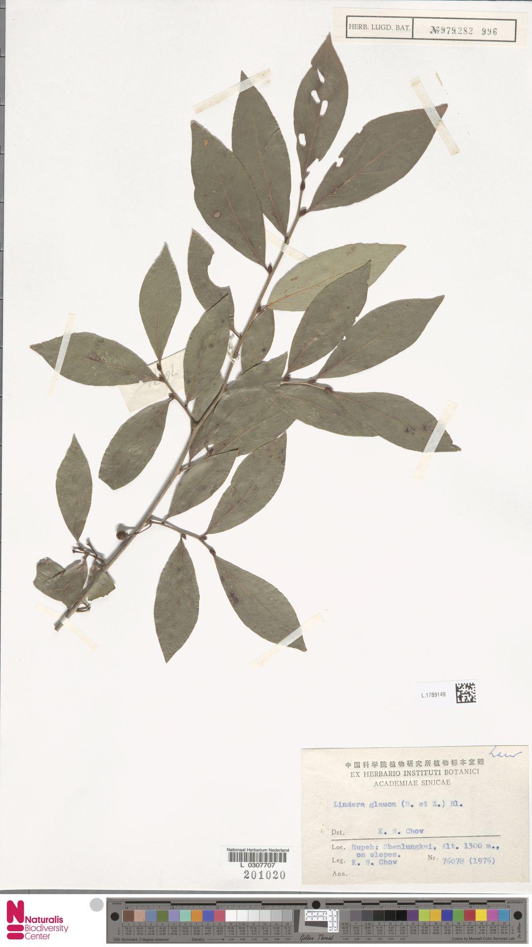 L.1789149 | Lindera glauca Blume