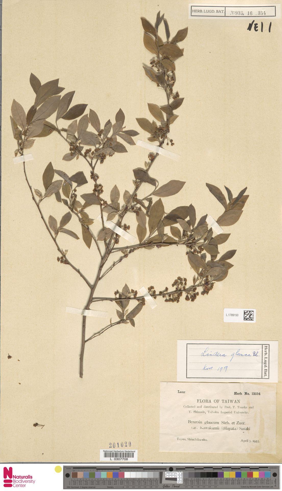 L.1789150 | Lindera glauca Blume