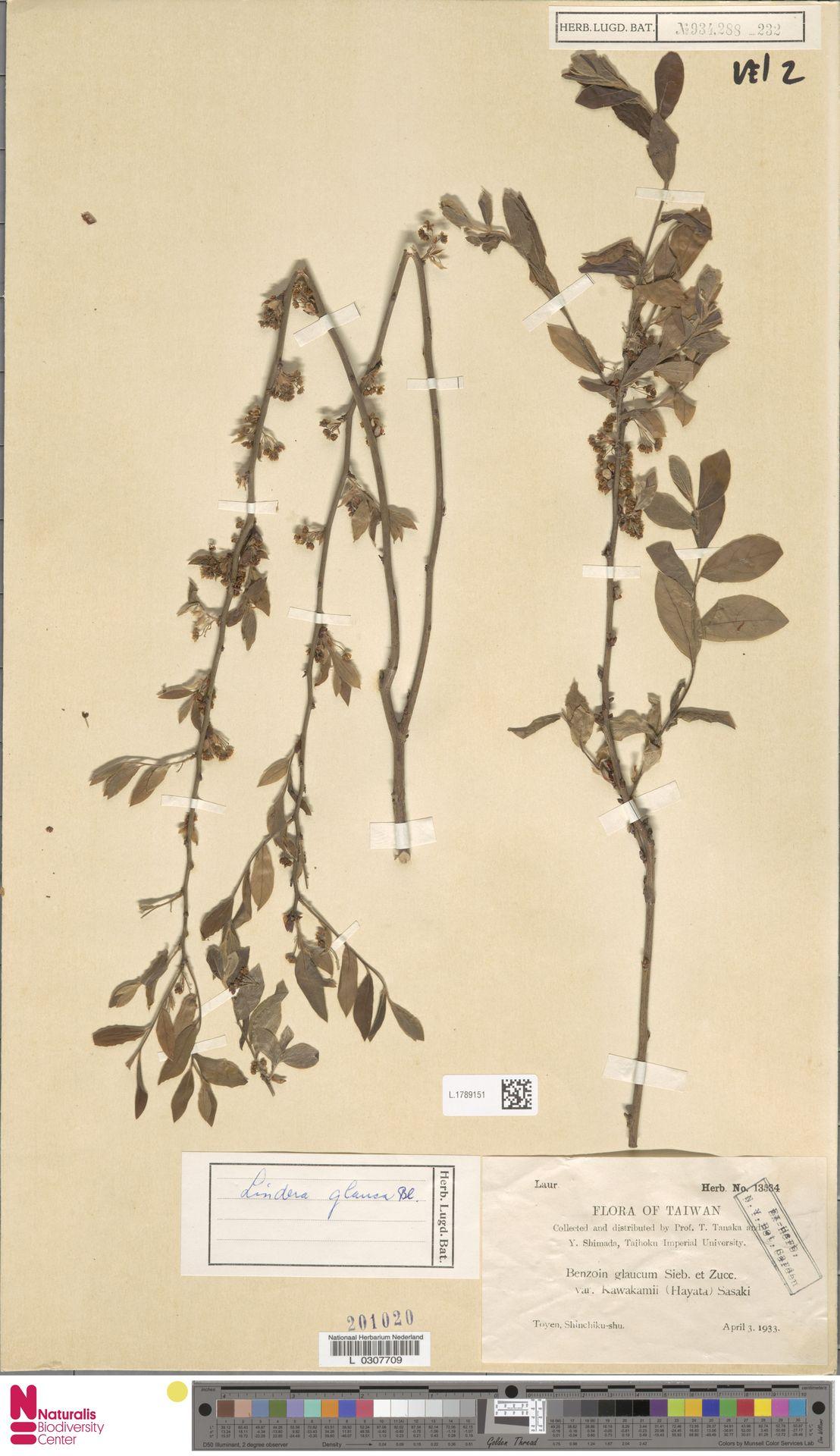 L.1789151 | Lindera glauca Blume