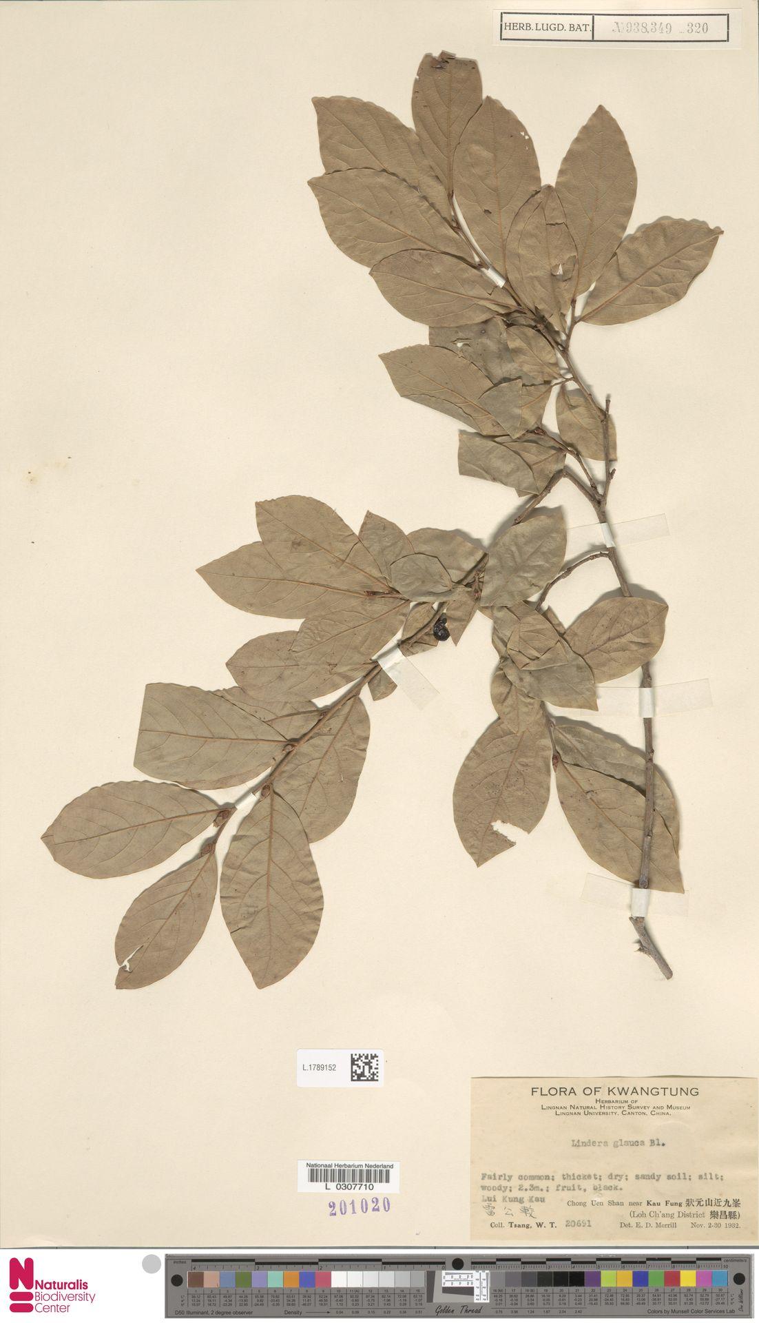 L.1789152   Lindera glauca Blume