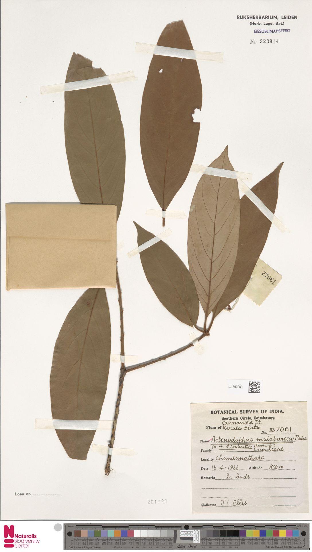 L.1790209 | Actinodaphne malabarica N.P.Balakr.