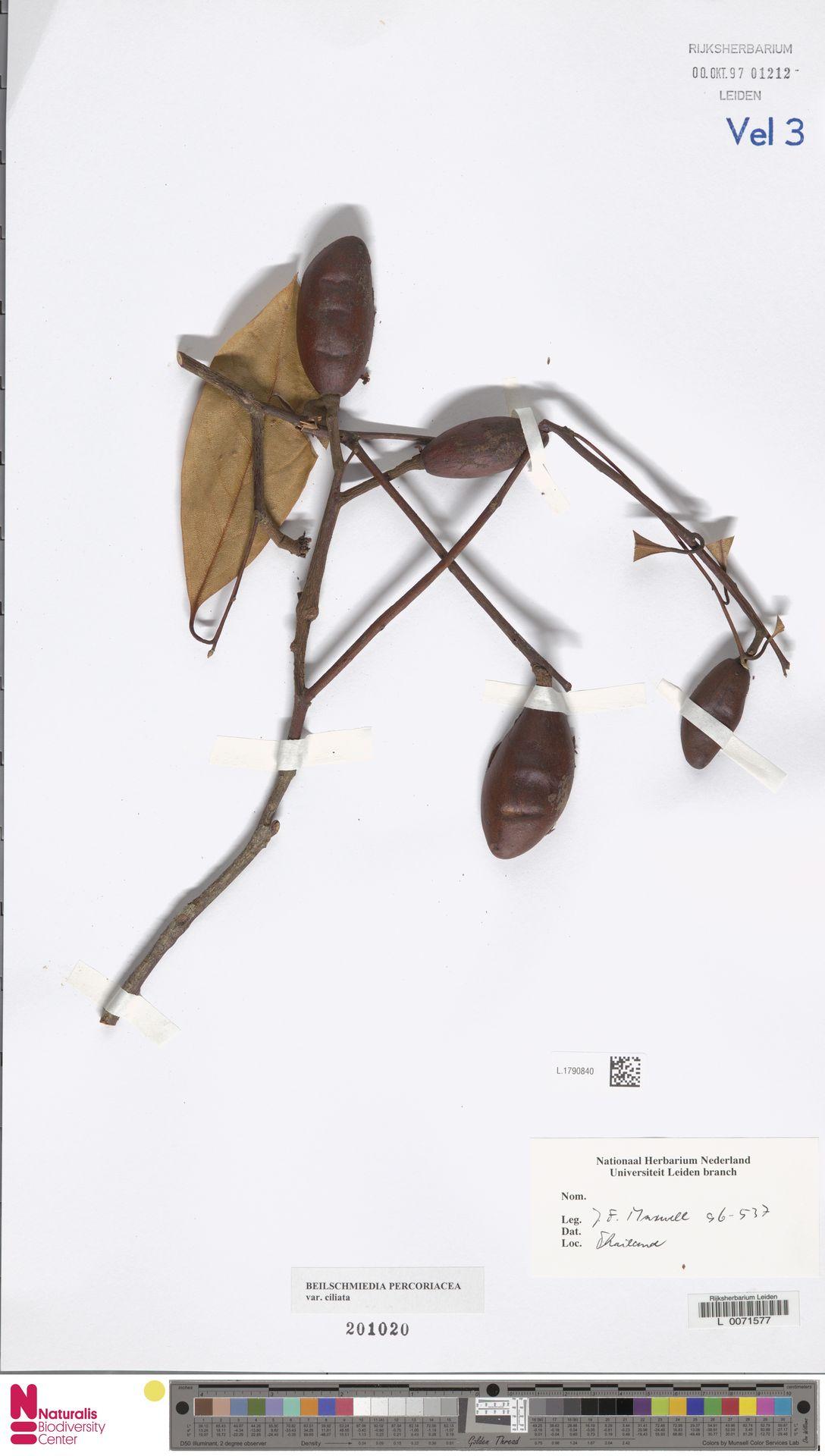 L.1790840 | Beilschmiedia percoriacea var. ciliata H.W.Li