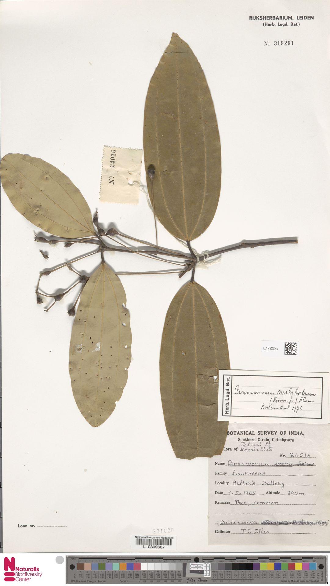 L.1792275 | Cinnamomum malabatrum (Burm.f.) J.Presl