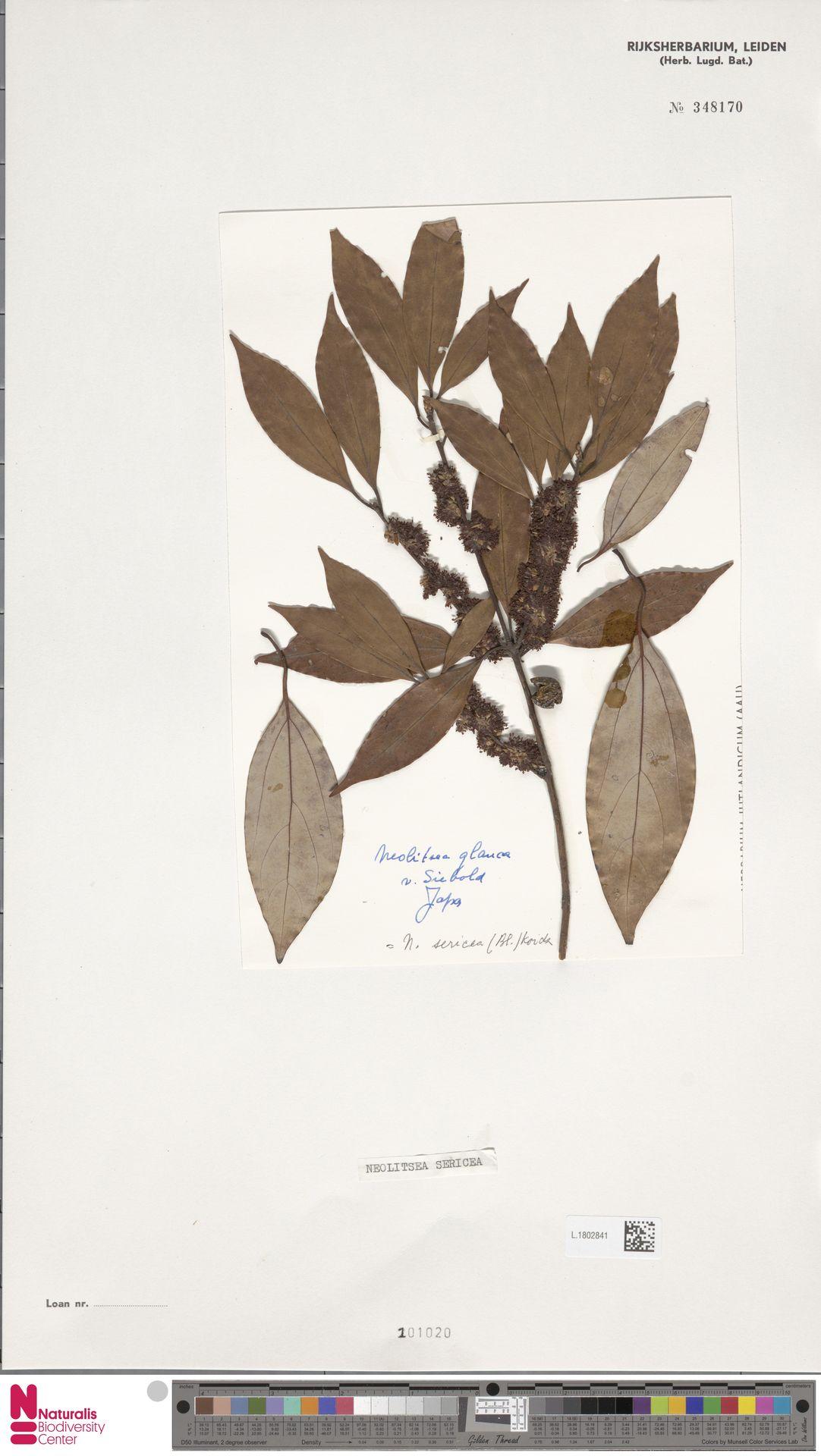 L.1802841 | Neolitsea sericea (Blume) Koidz.