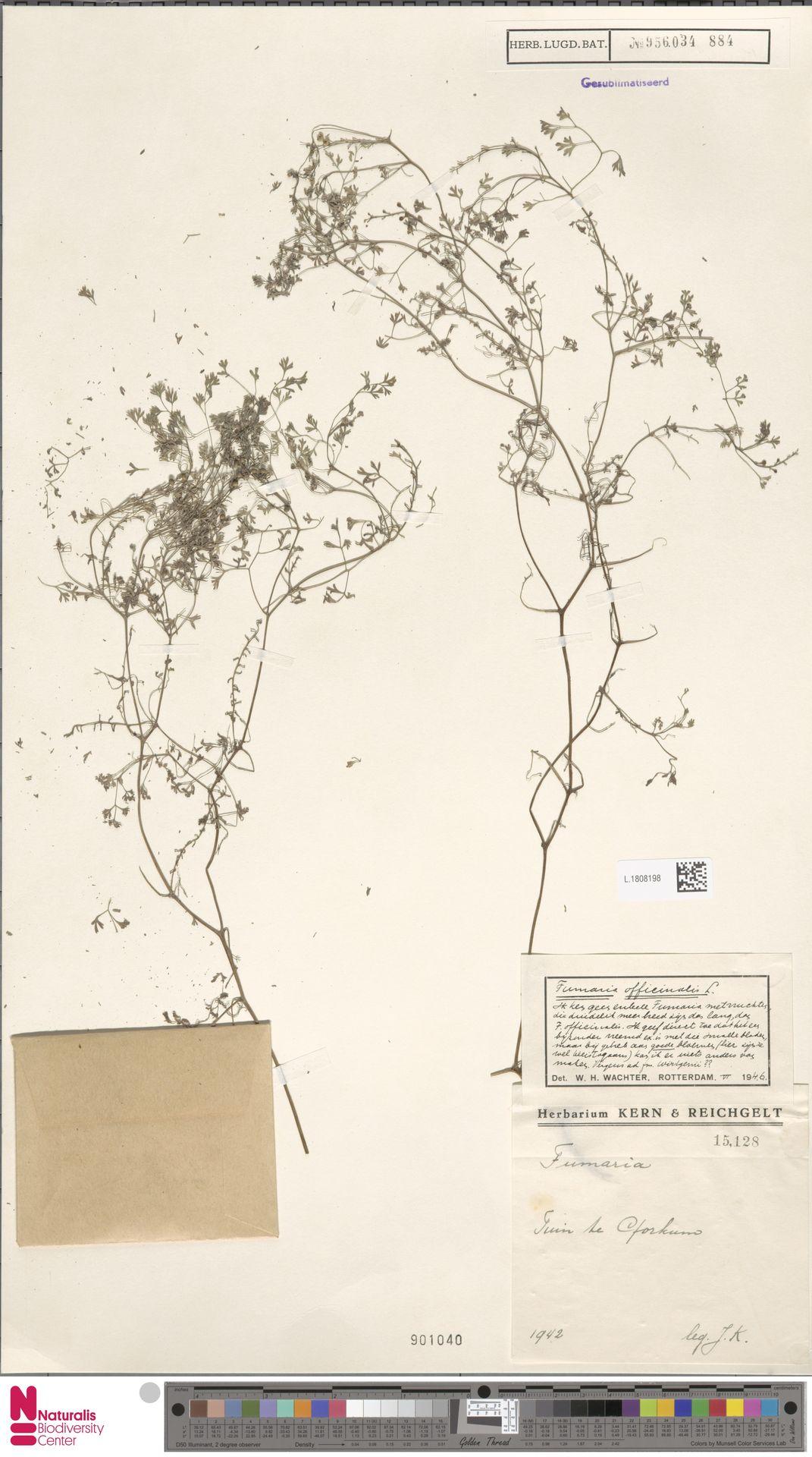 L.1808198 | Fumaria officinalis L.