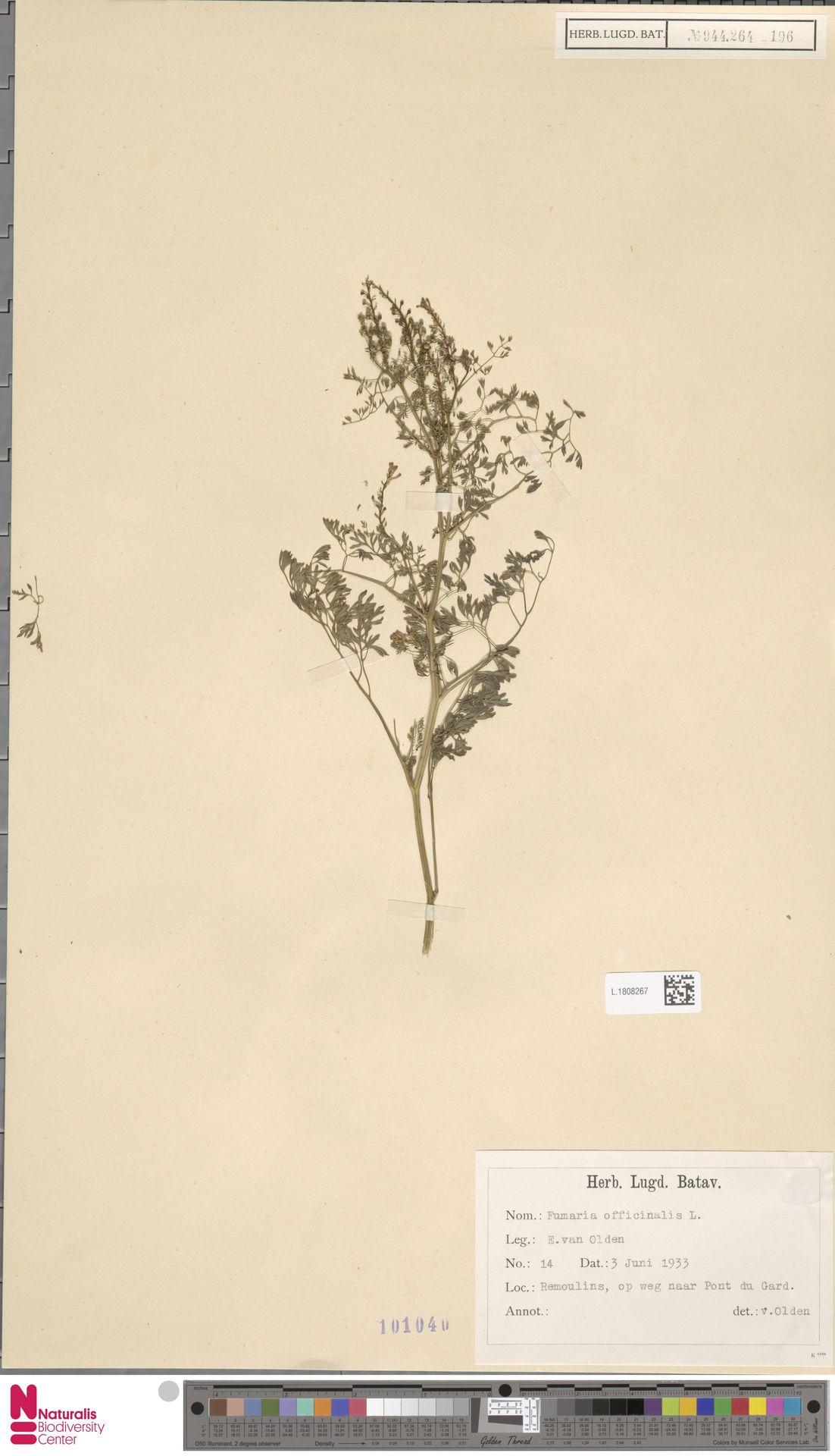 L.1808267 | Fumaria officinalis L.