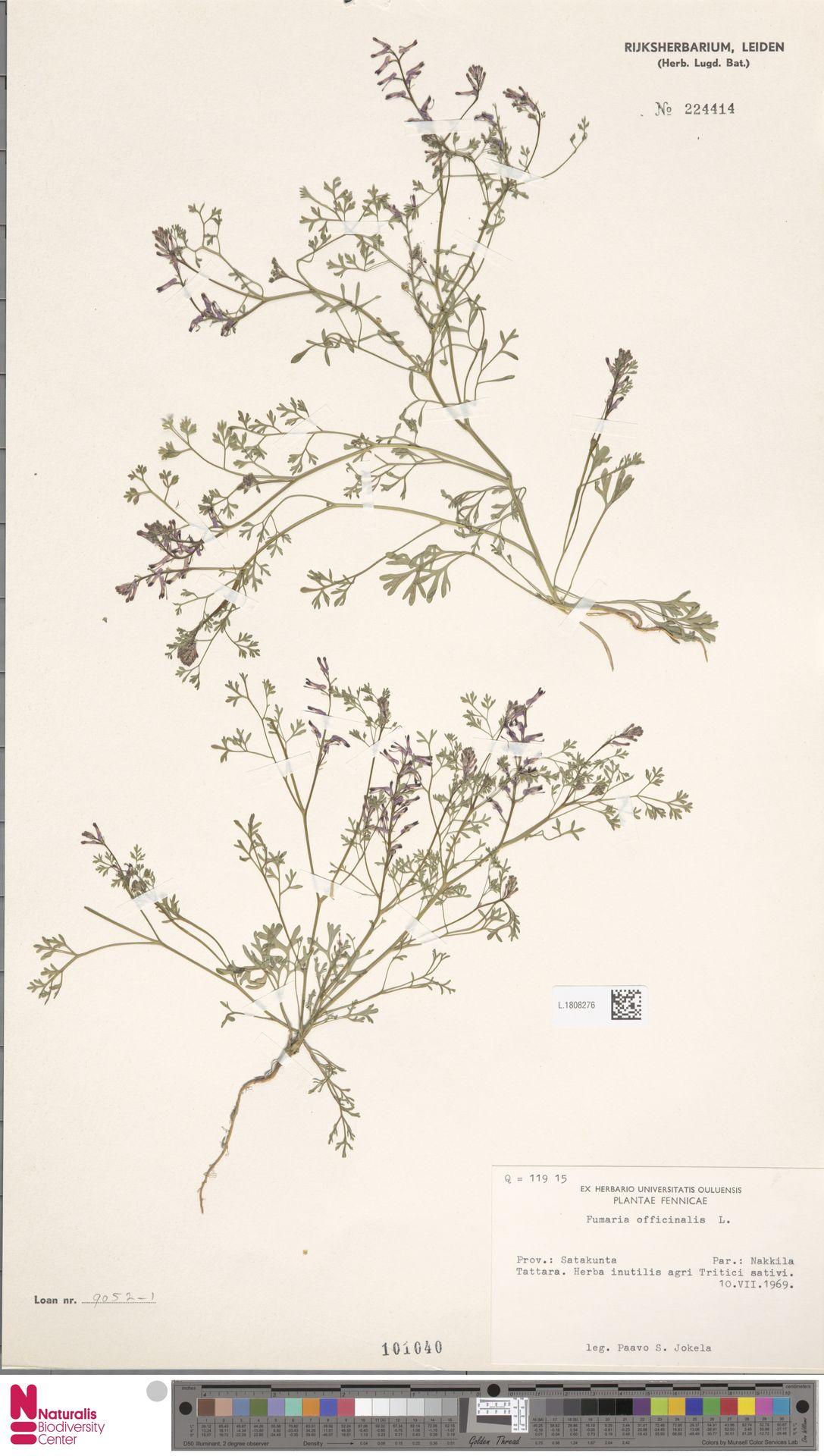 L.1808276 | Fumaria officinalis L.