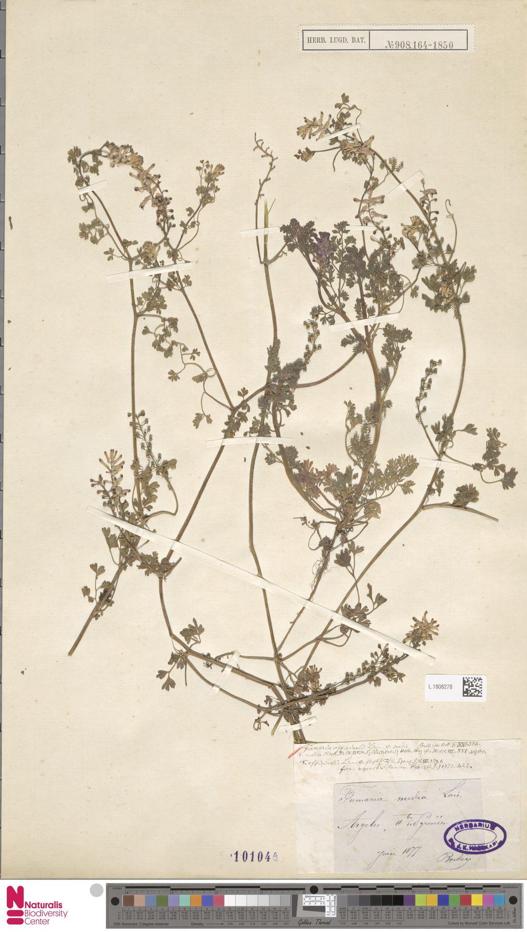 L.1808278 | Fumaria officinalis L.