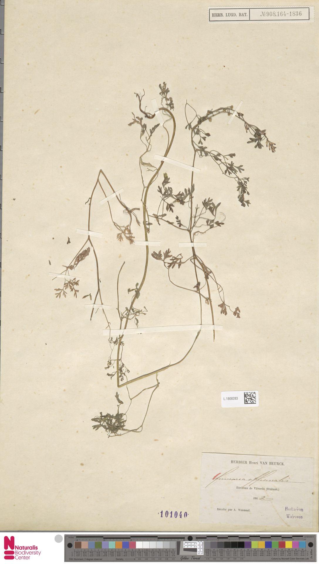L.1808283 | Fumaria officinalis L.