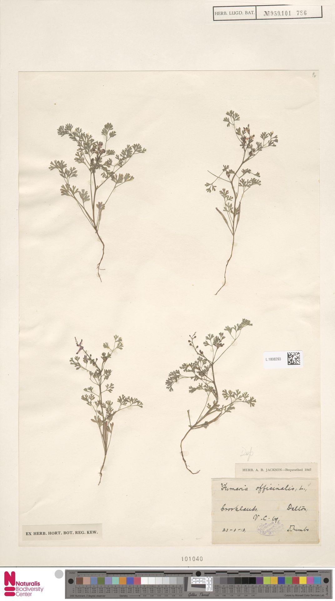 L.1808293 | Fumaria officinalis L.