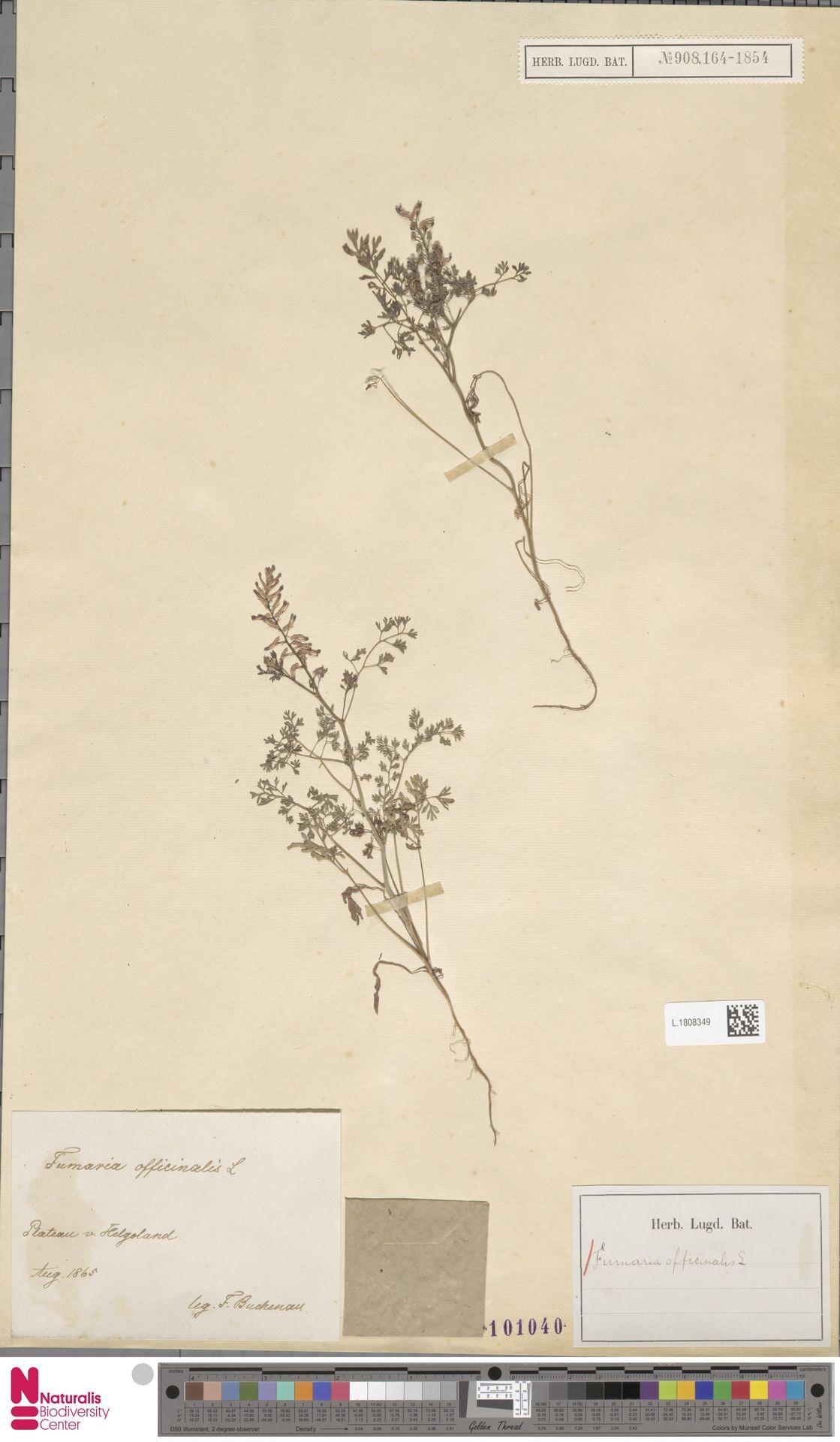 L.1808349 | Fumaria officinalis L.