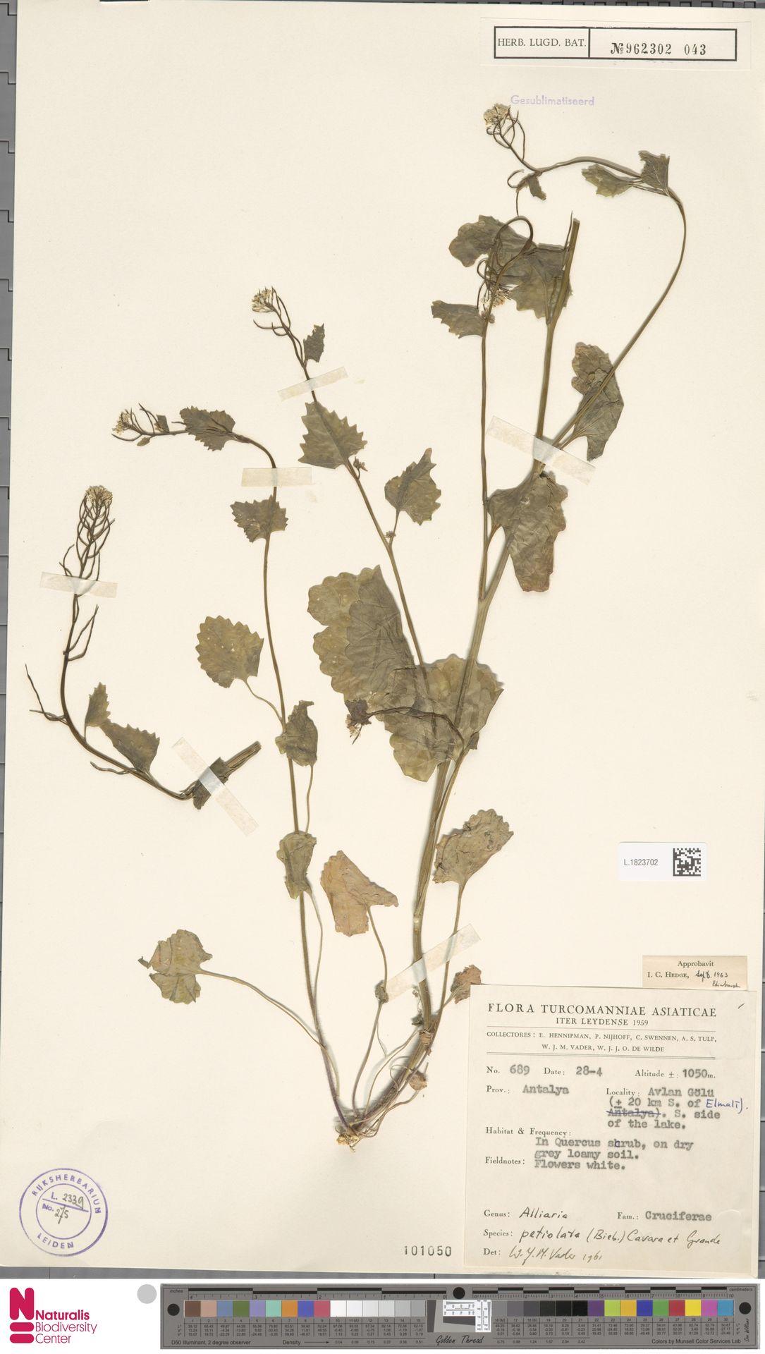 L.1823702 | Alliaria petiolata (M.Bieb.) Cavara & Grande