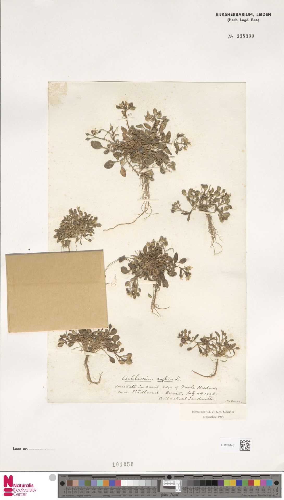 L.1826145 | Cochlearia anglica L.