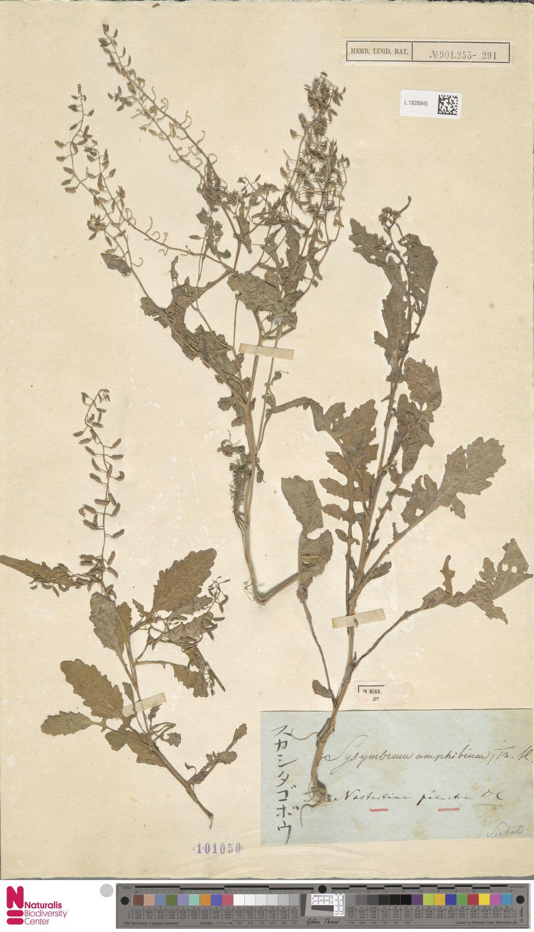 L.1828945 | Nasturtium palustre DC.
