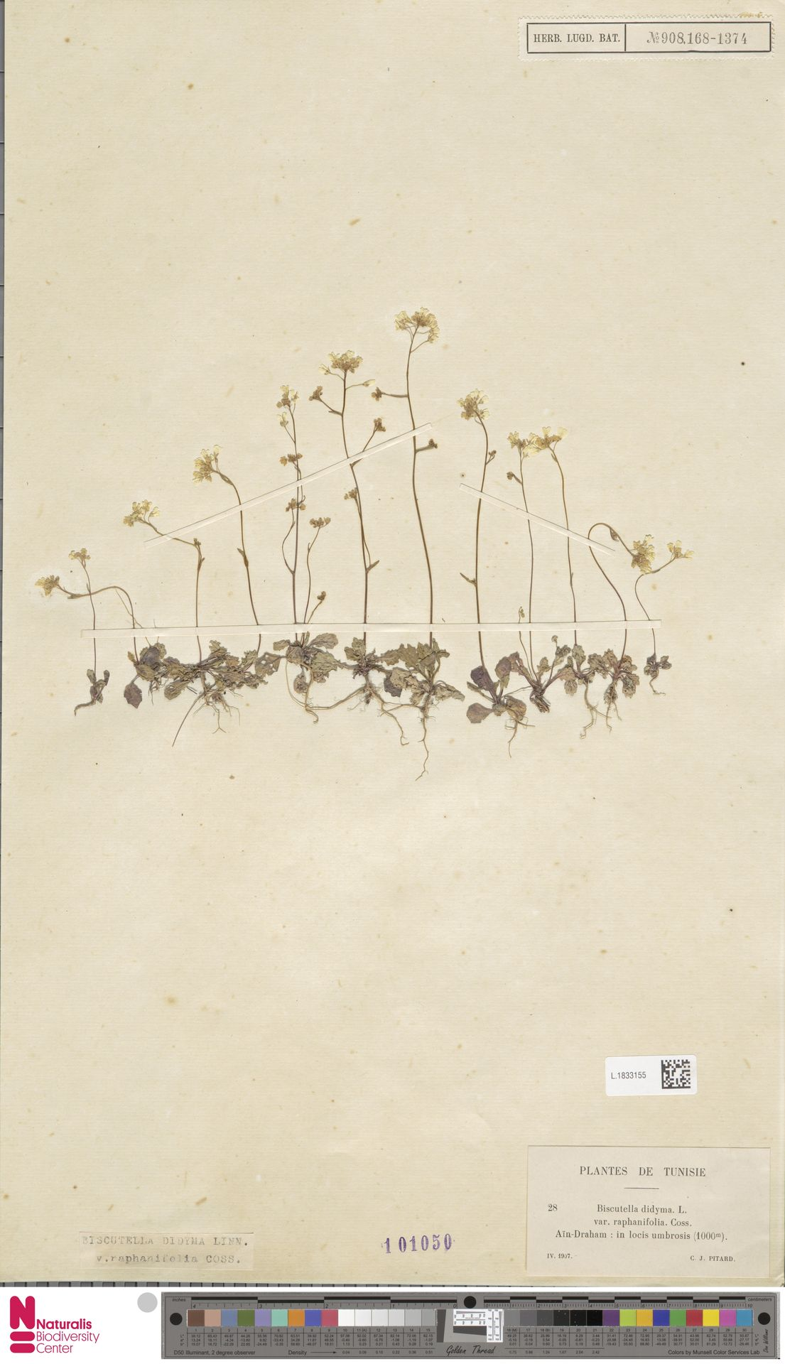 L.1833155 | Biscutella didyma L.