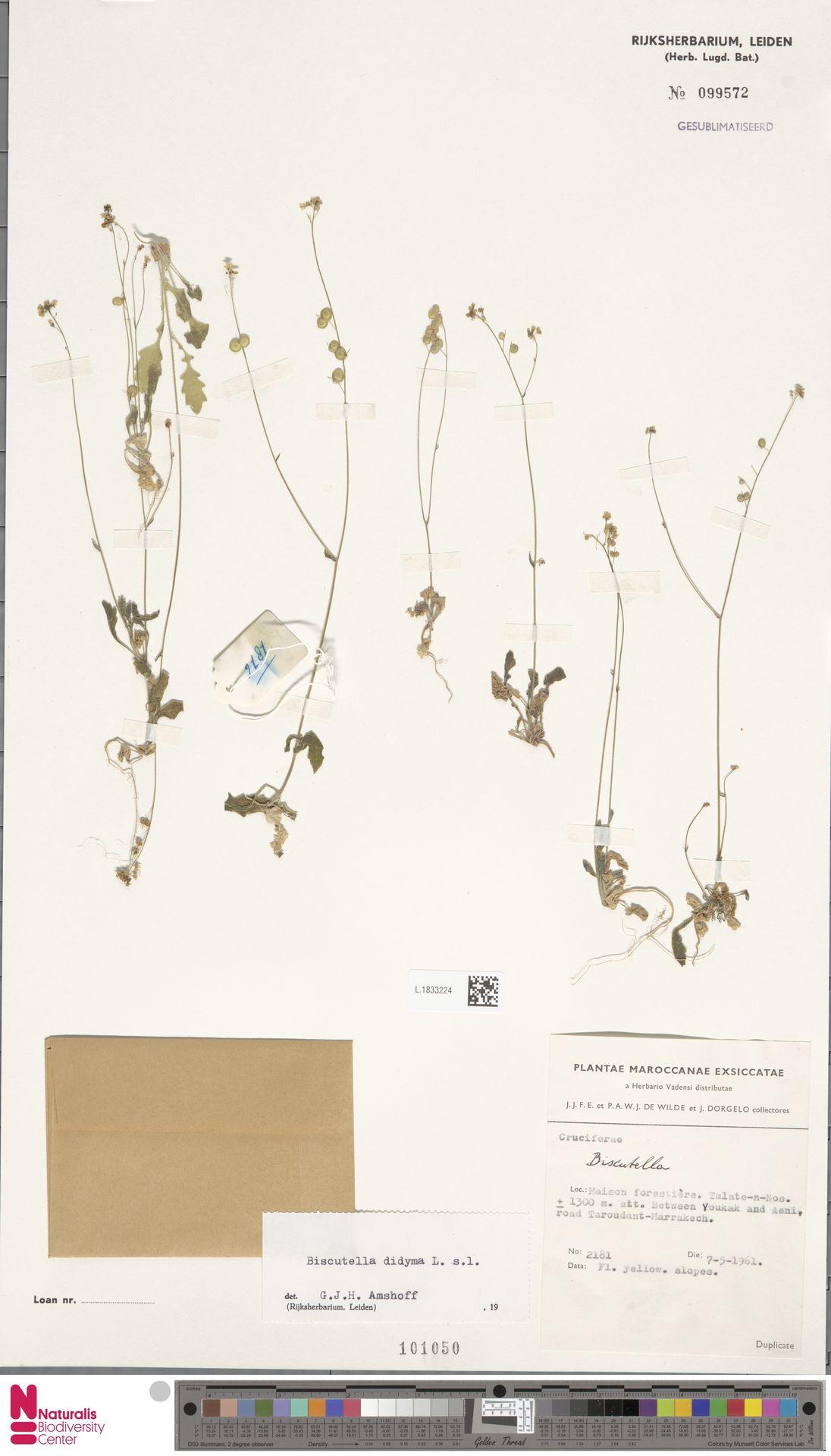 L.1833224 | Biscutella didyma L.