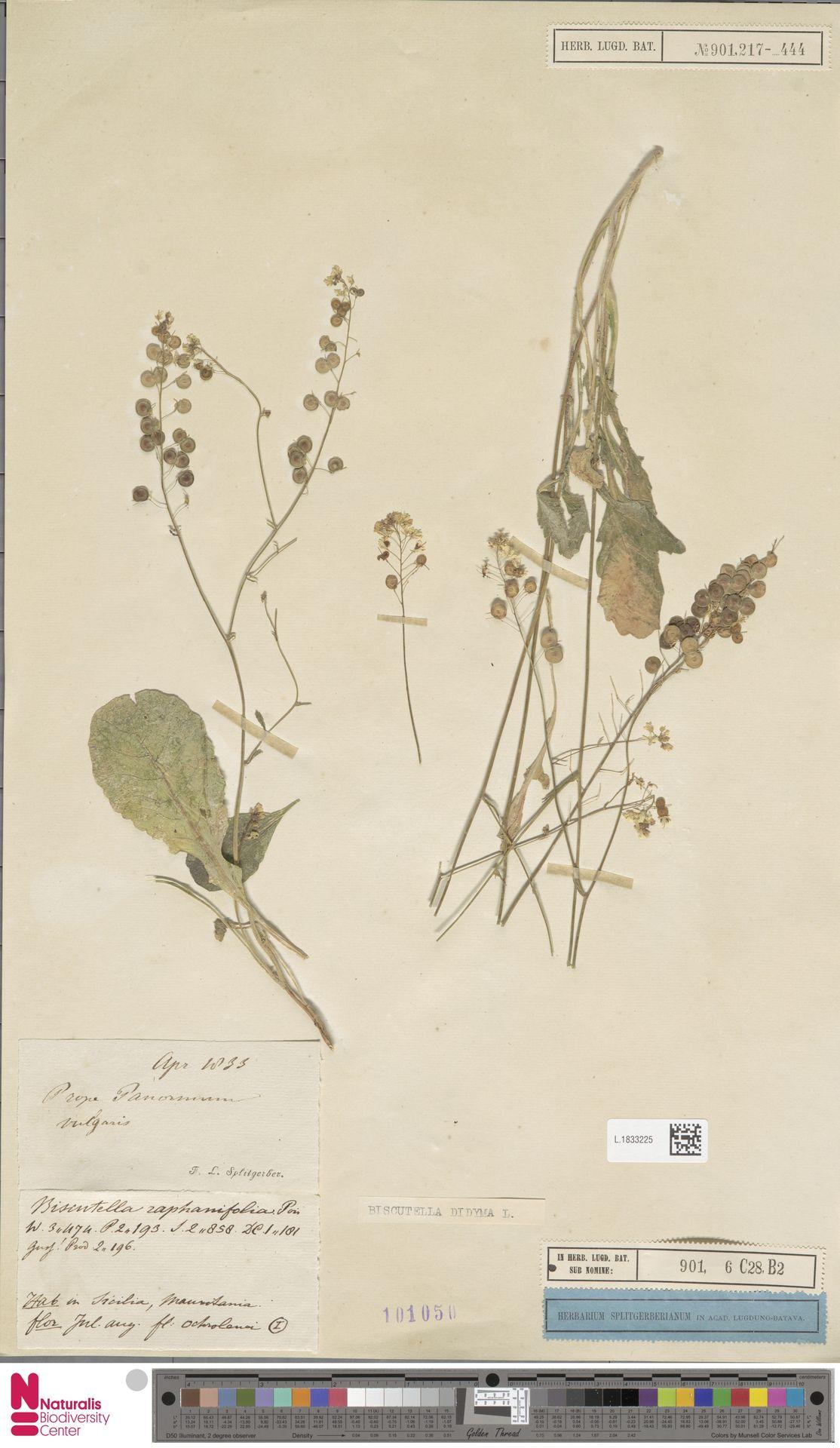 L.1833225 | Biscutella didyma L.