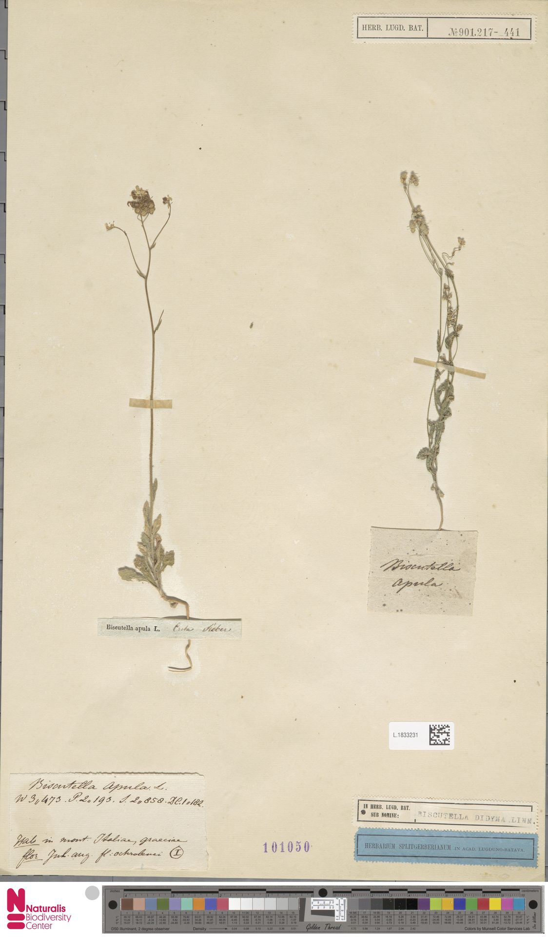L.1833231 | Biscutella didyma L.
