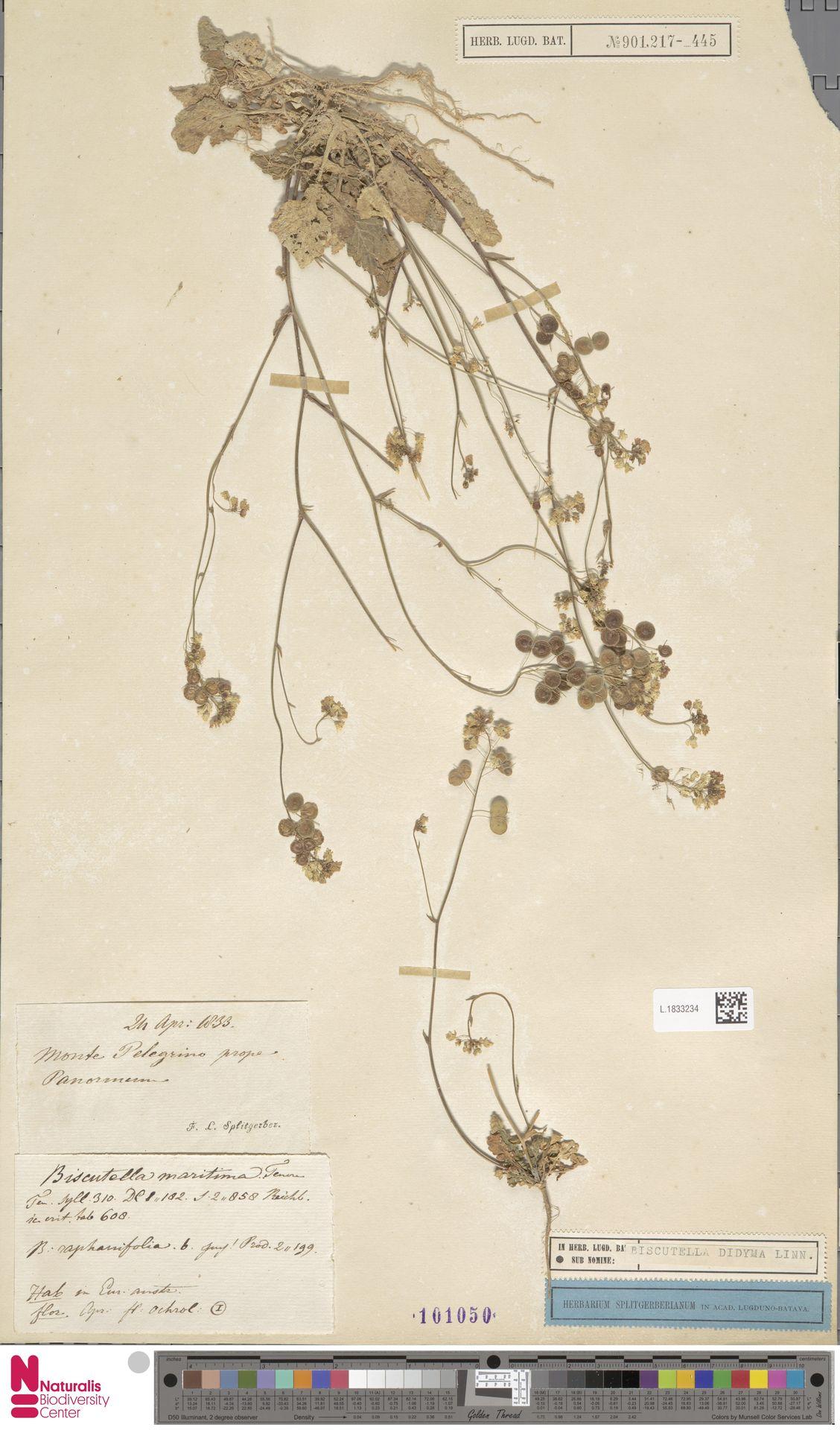 L.1833234 | Biscutella didyma L.