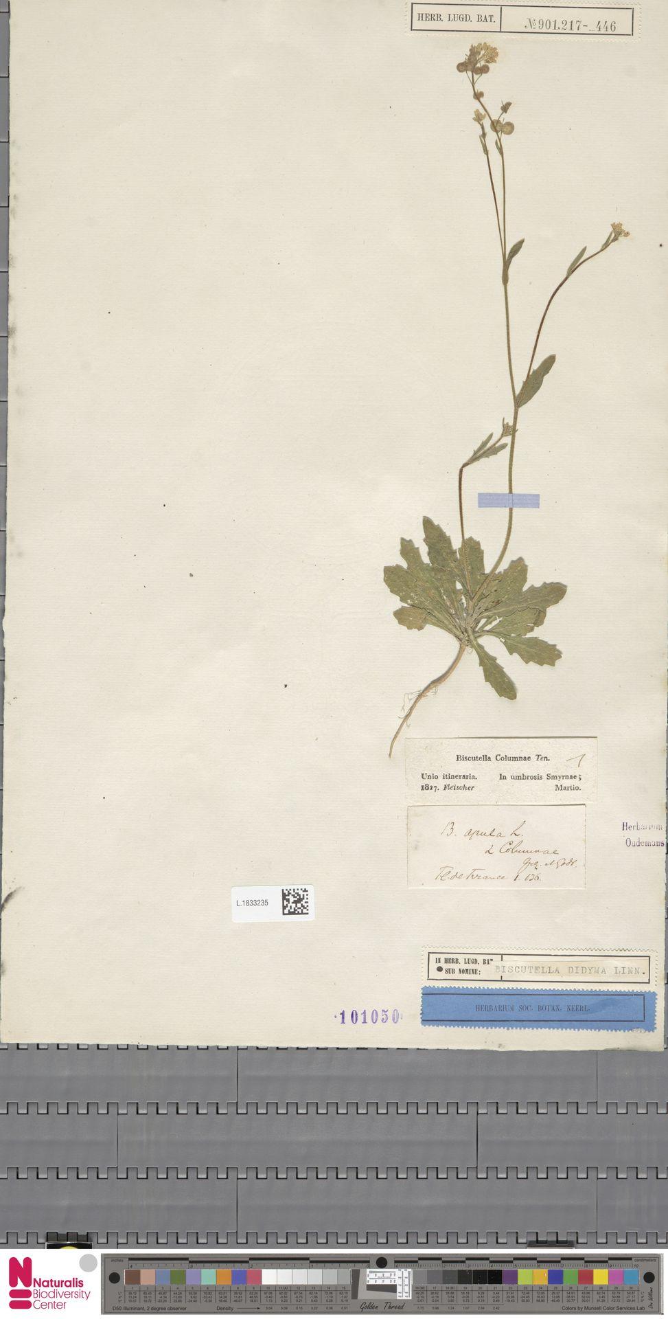 L.1833235 | Biscutella didyma L.