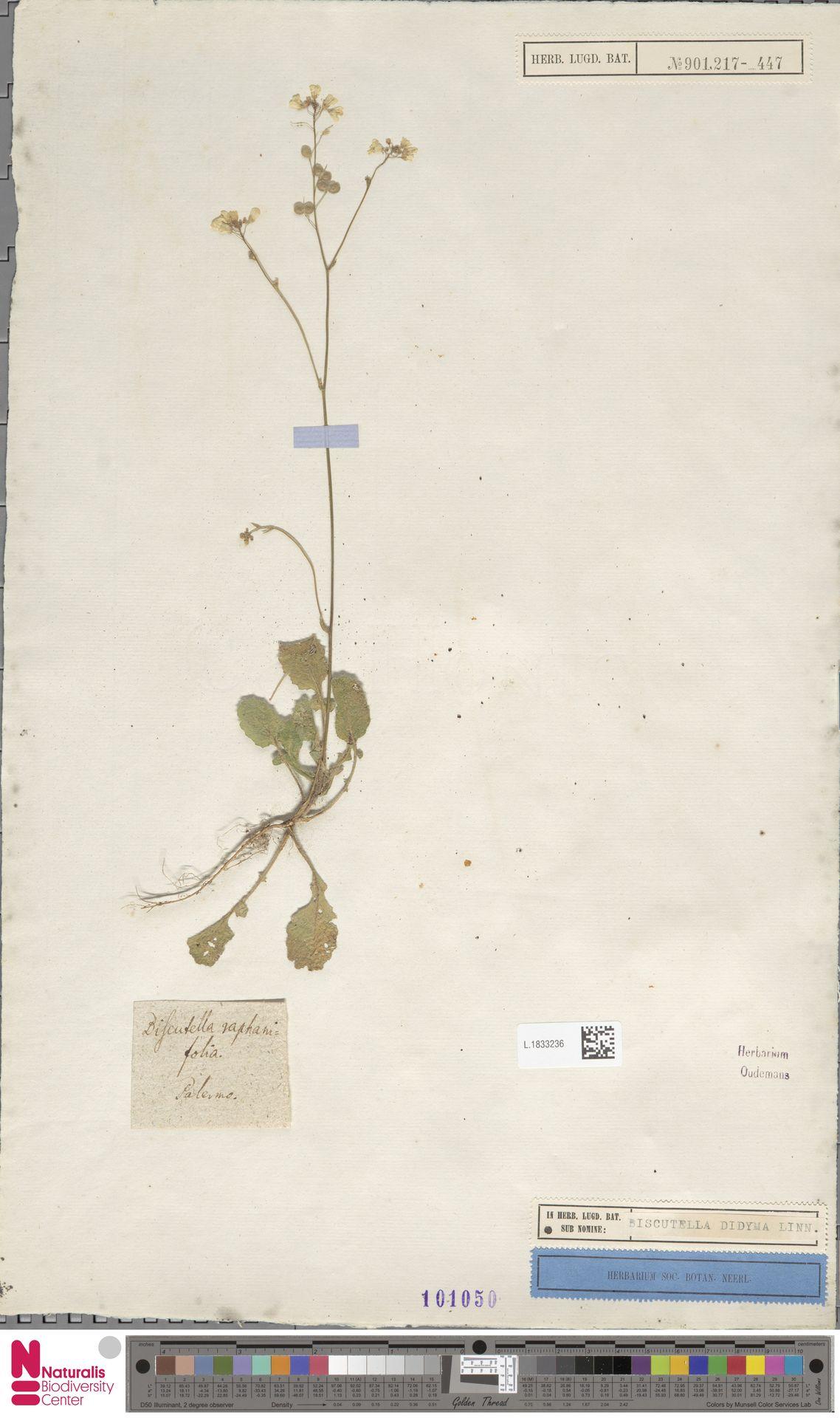 L.1833236 | Biscutella didyma L.