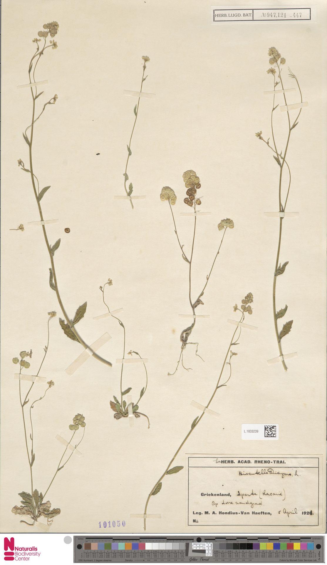 L.1833239 | Biscutella didyma L.