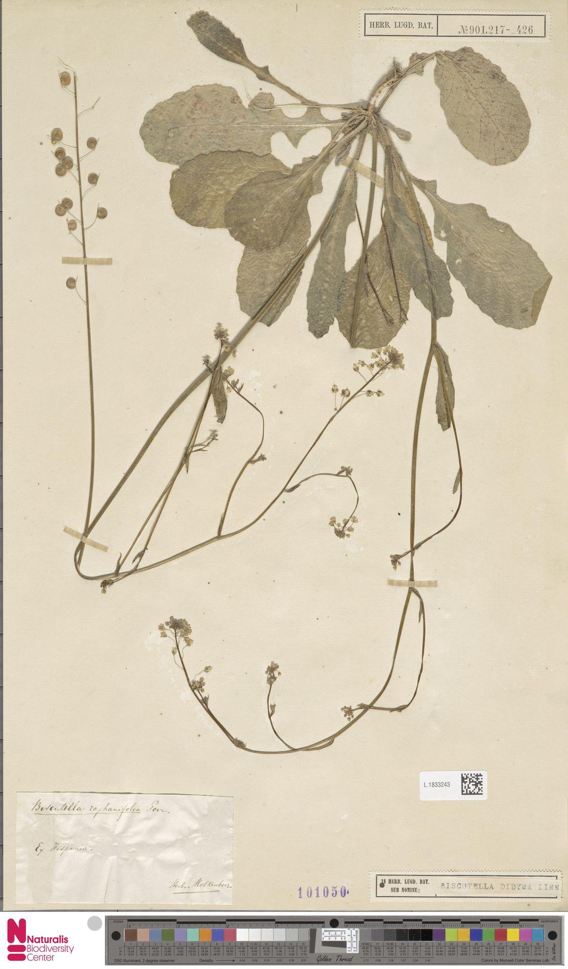 L.1833243 | Biscutella didyma L.
