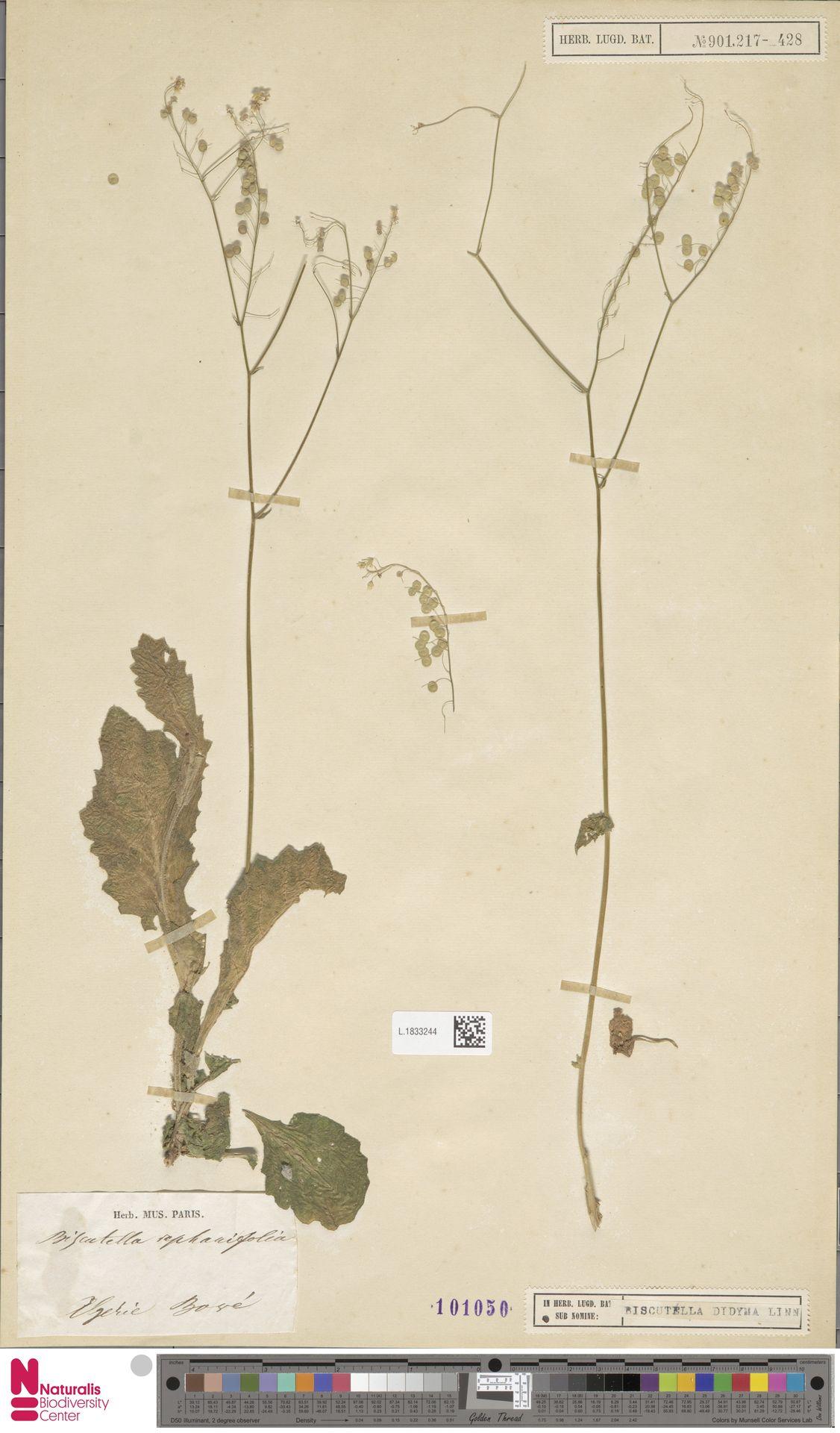 L.1833244 | Biscutella didyma L.