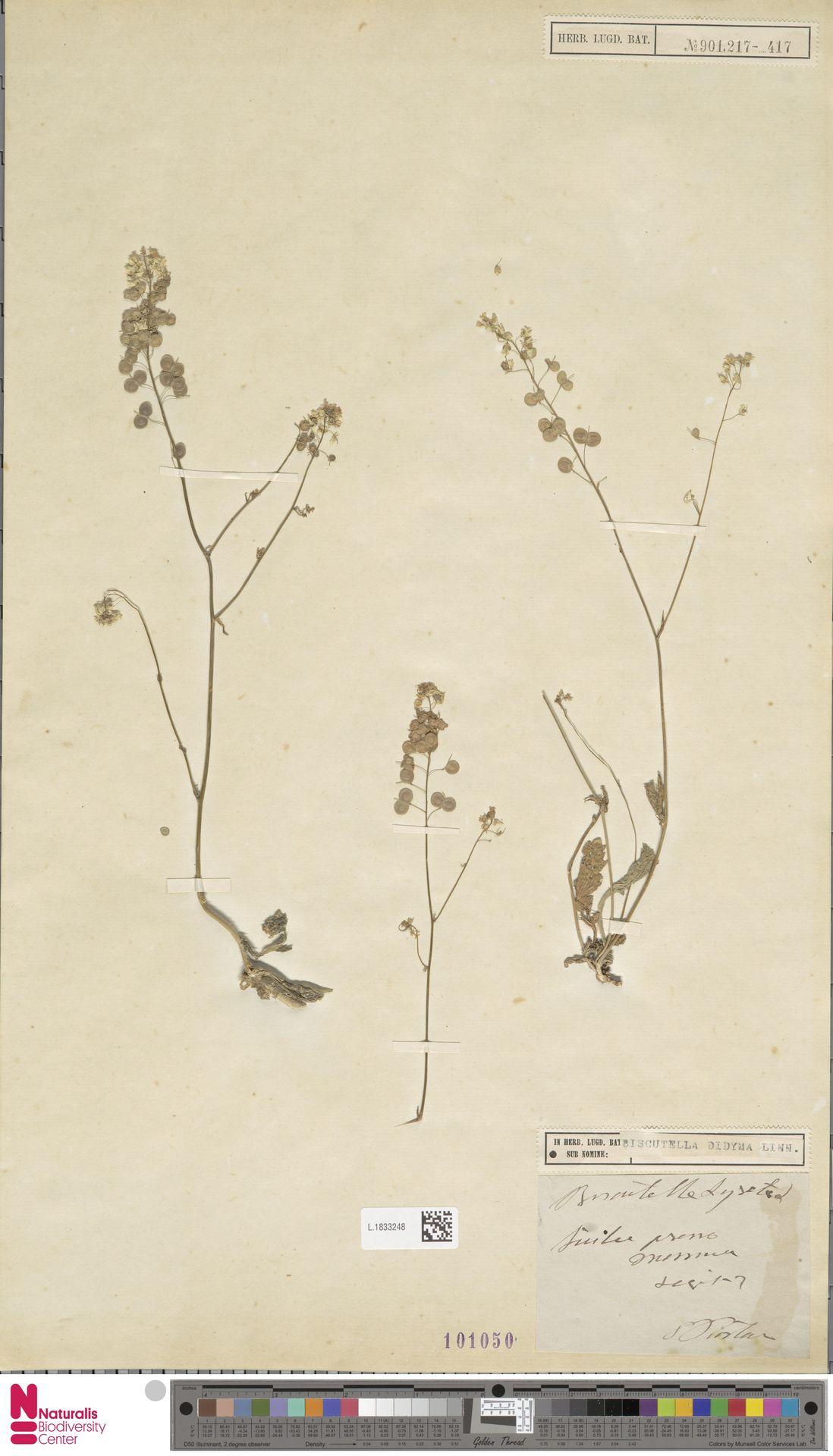 L.1833248 | Biscutella didyma L.