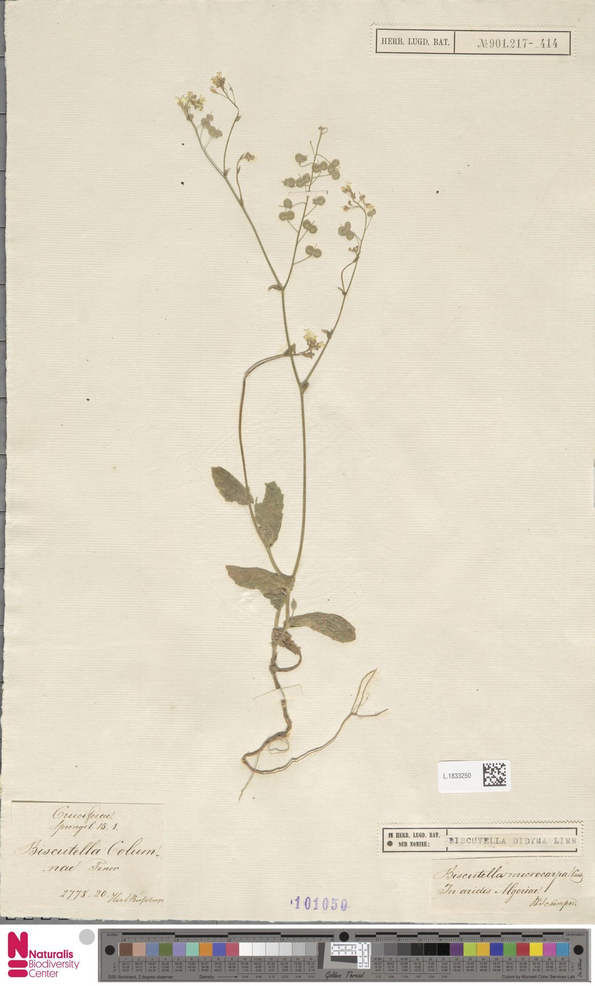 L.1833250 | Biscutella didyma L.