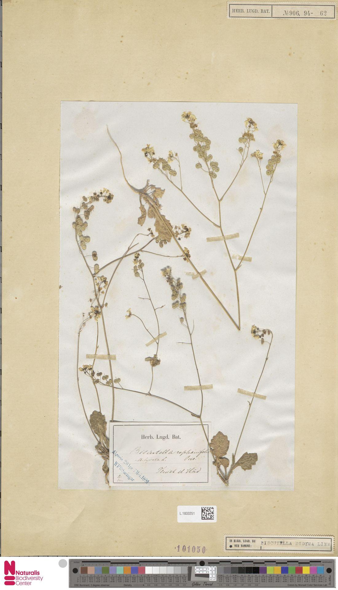 L.1833251 | Biscutella didyma L.