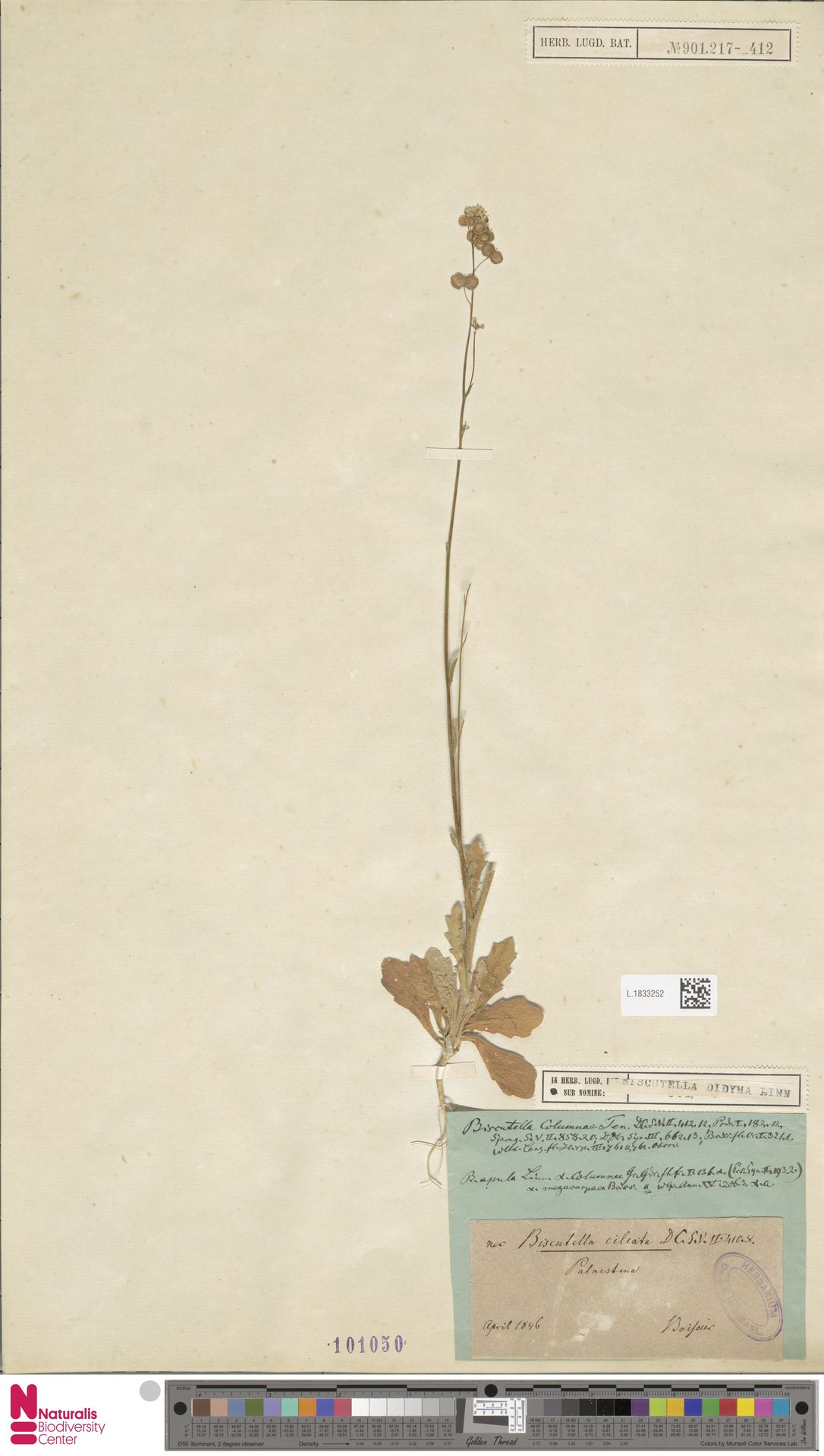 L.1833252   Biscutella didyma L.