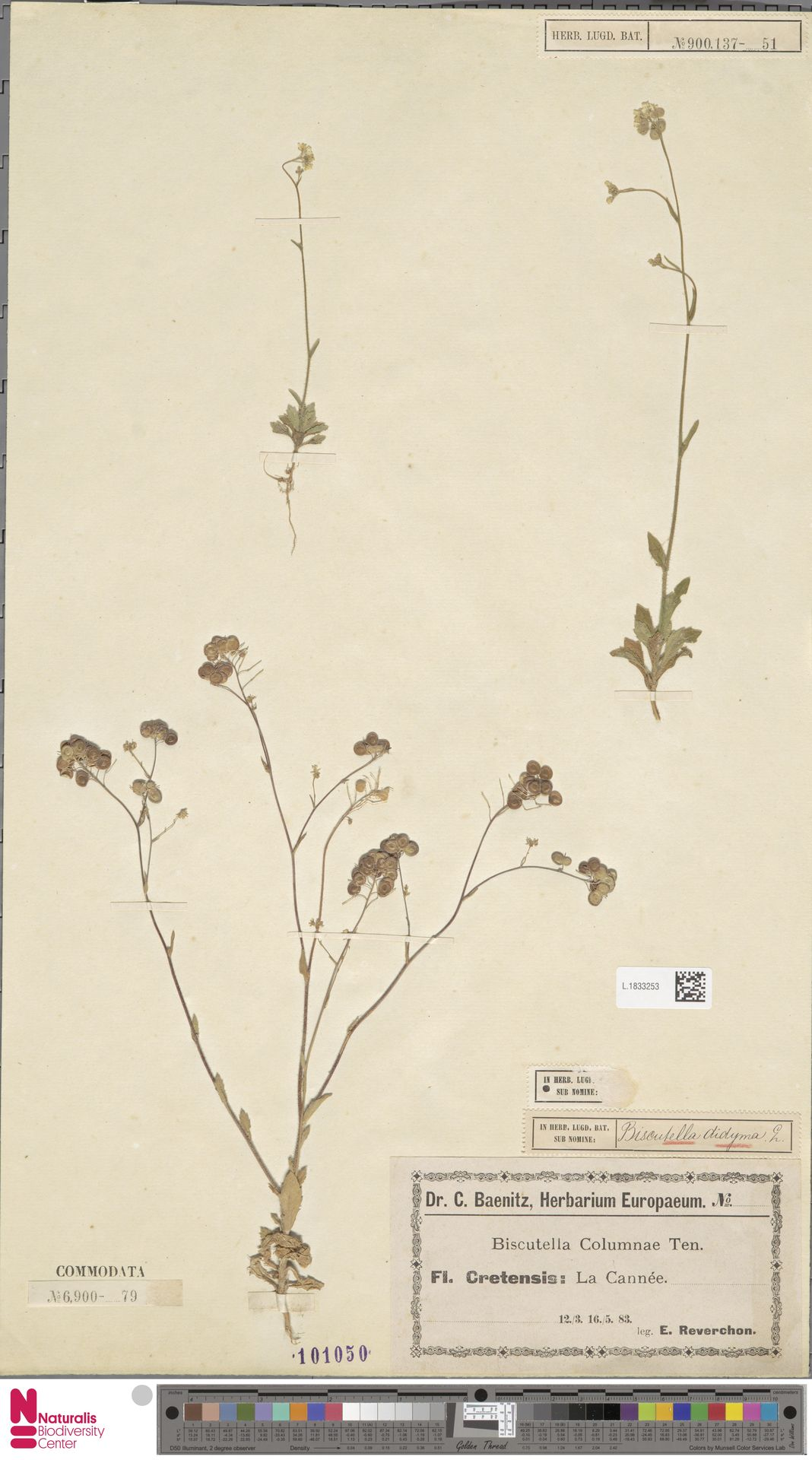 L.1833253 | Biscutella didyma L.