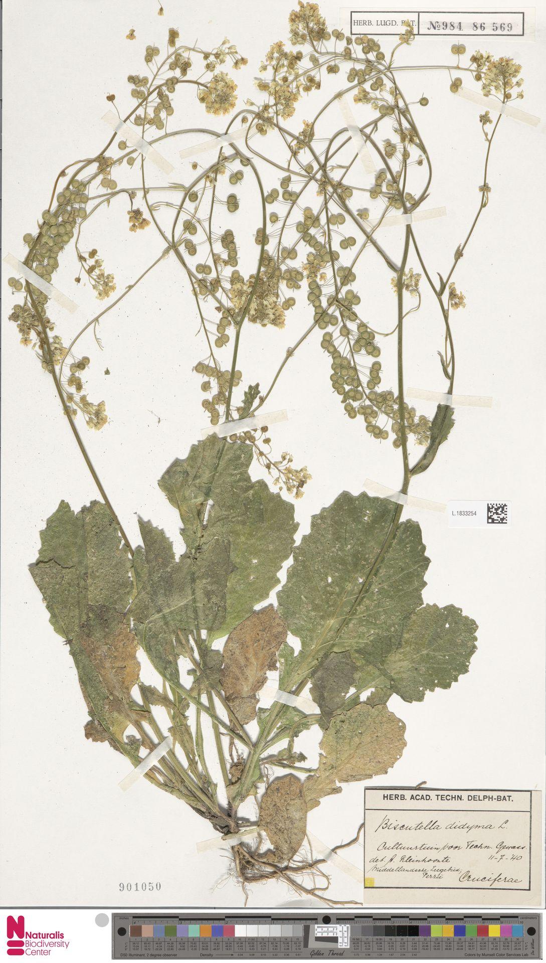 L.1833254 | Biscutella didyma L.