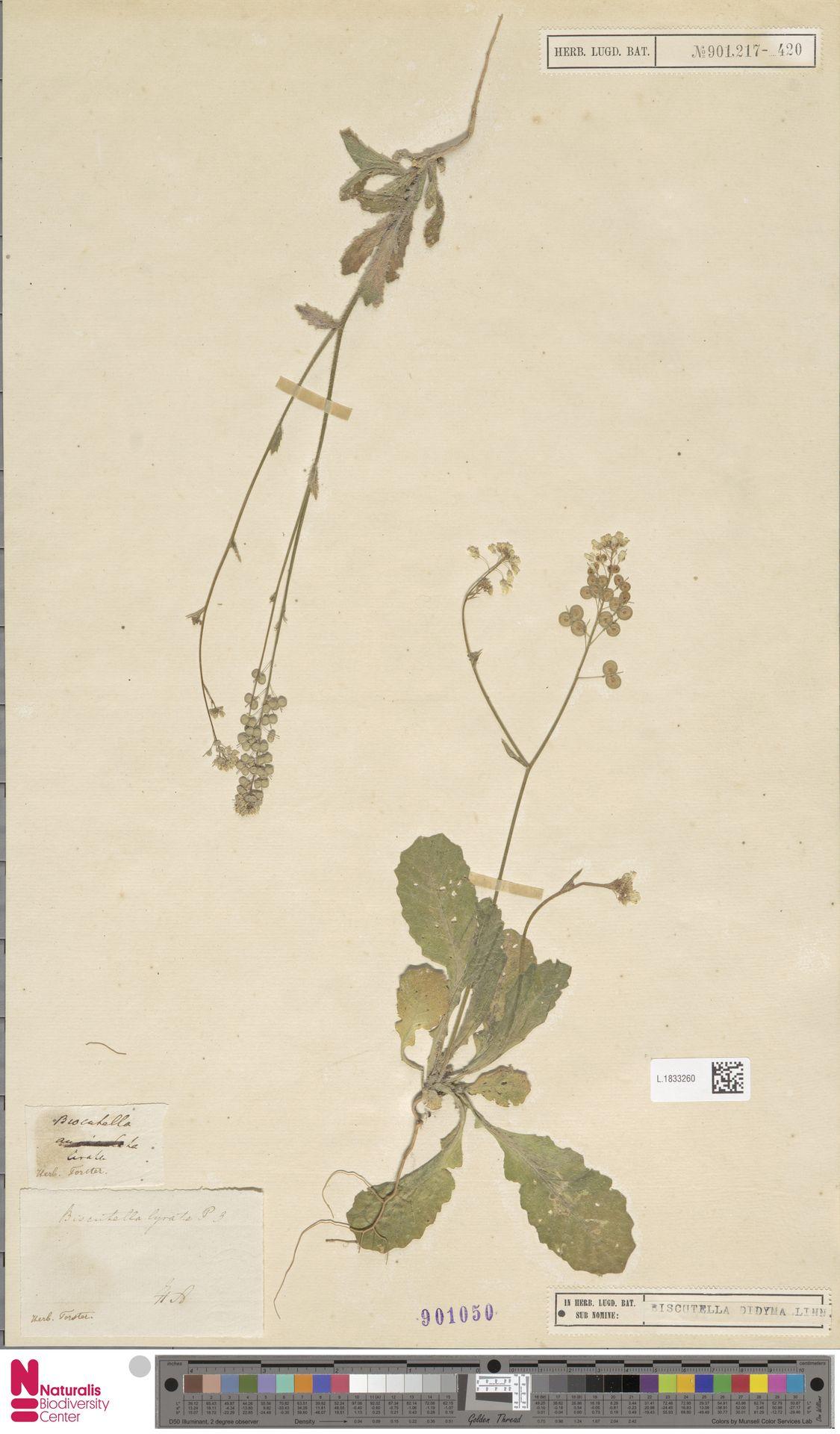 L.1833260 | Biscutella didyma L.