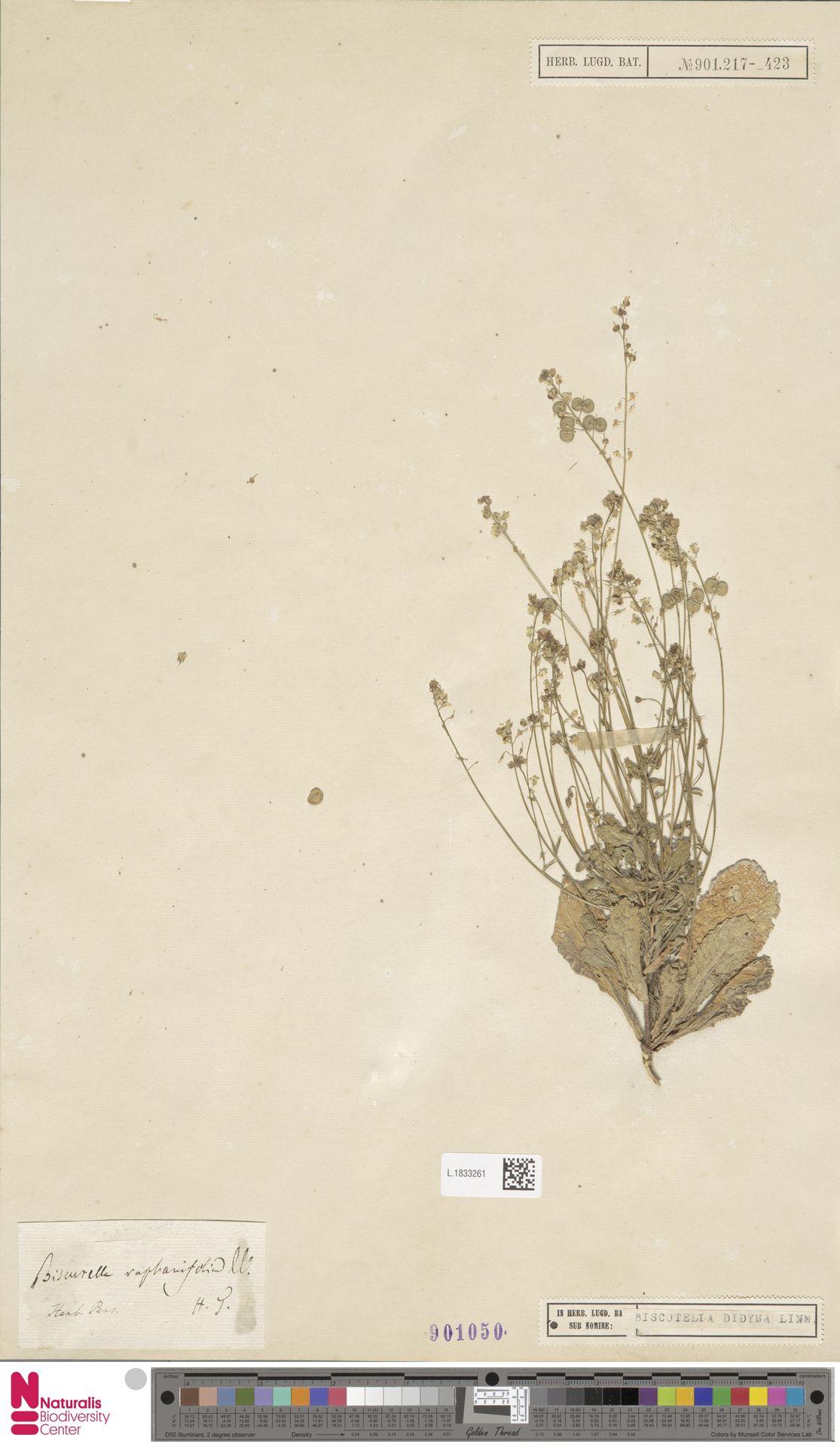 L.1833261 | Biscutella didyma L.