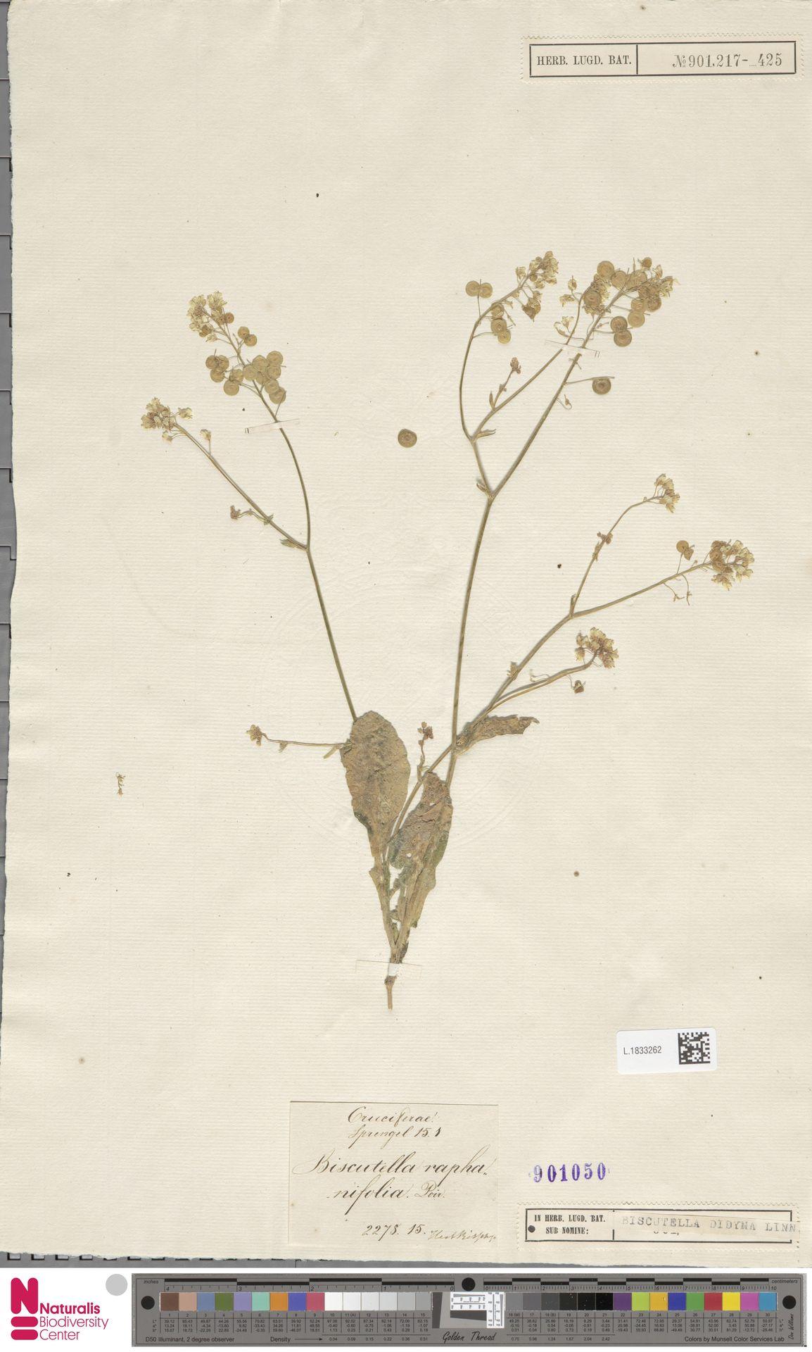 L.1833262 | Biscutella didyma L.