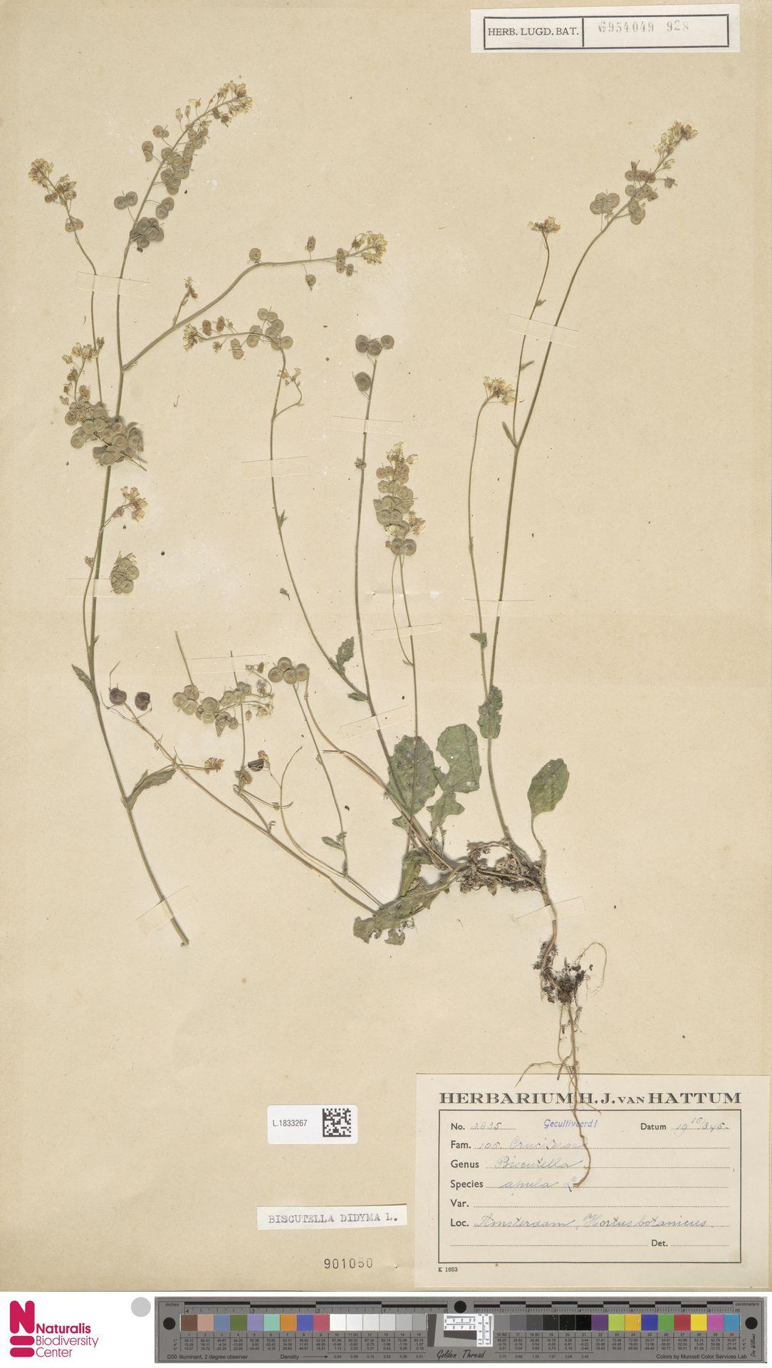 L.1833267 | Biscutella didyma L.