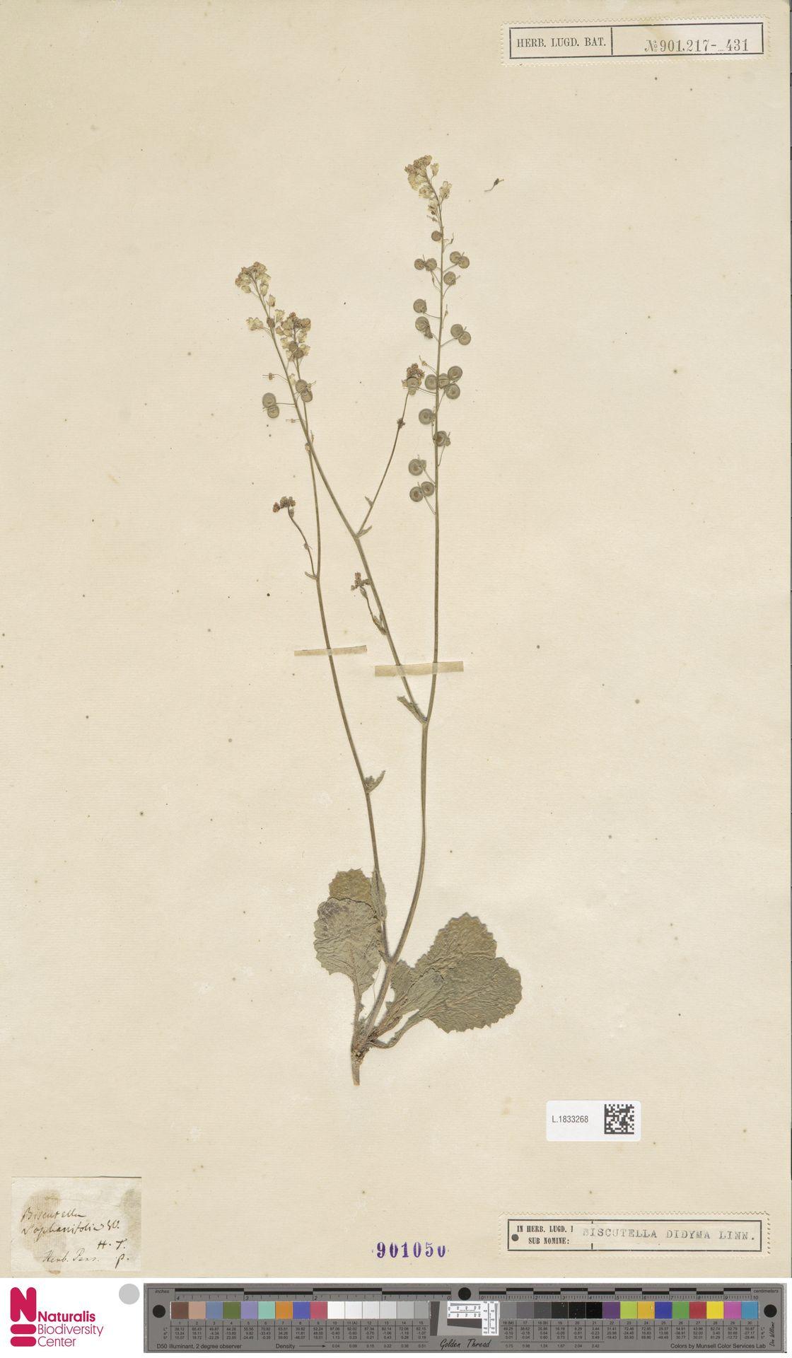L.1833268   Biscutella didyma L.